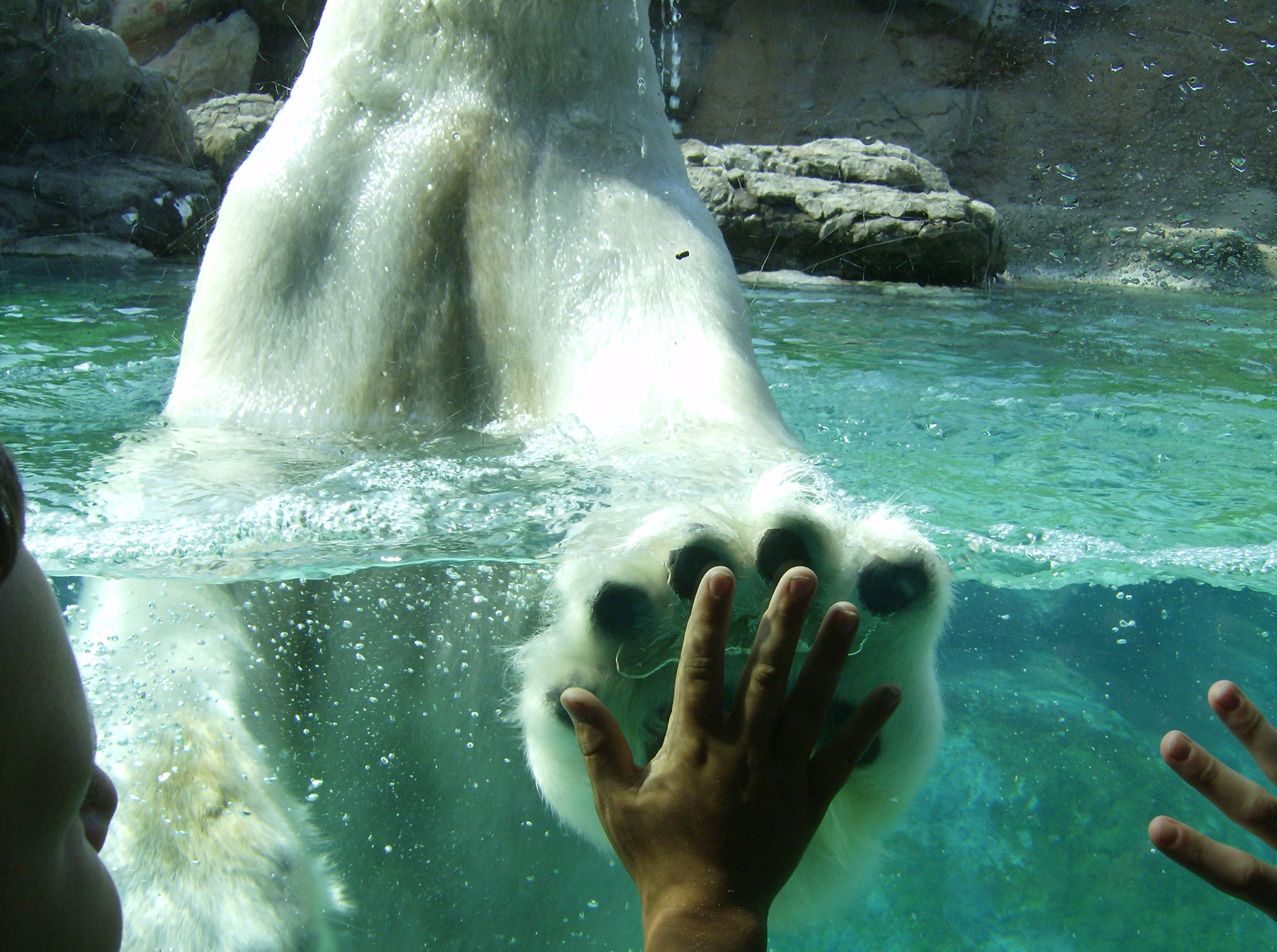 high five Polar Bears HD Wallpaper