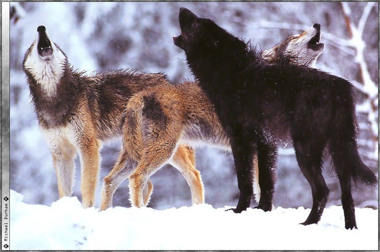 howling wolf Wolves