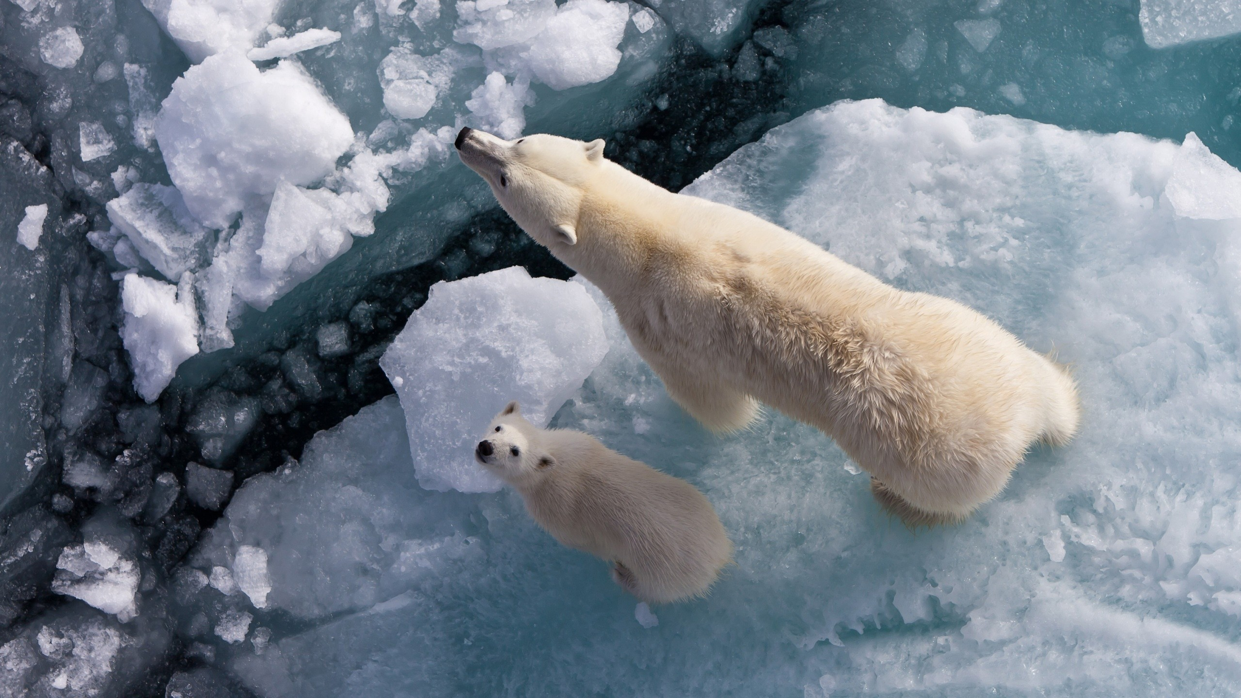 ice Animals Arctic Polar HD Wallpaper