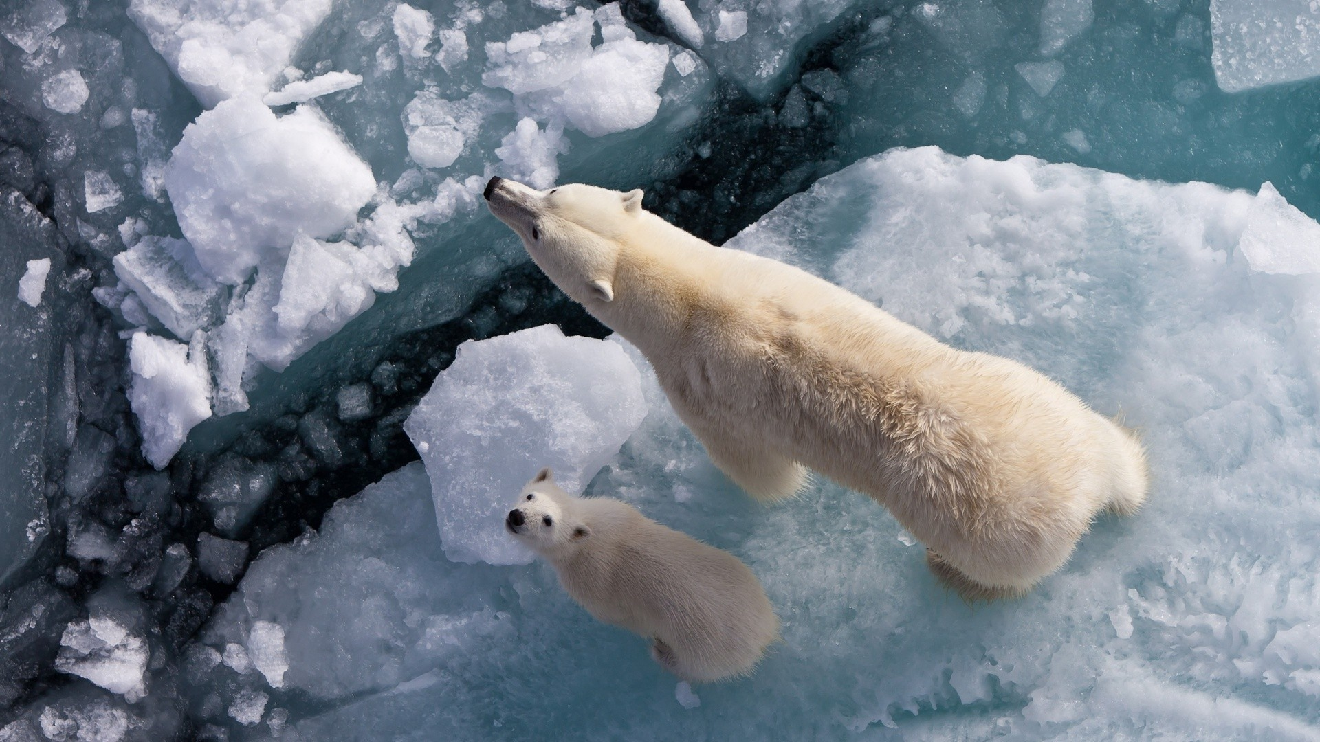 ice Animals Polar Bears HD Wallpaper
