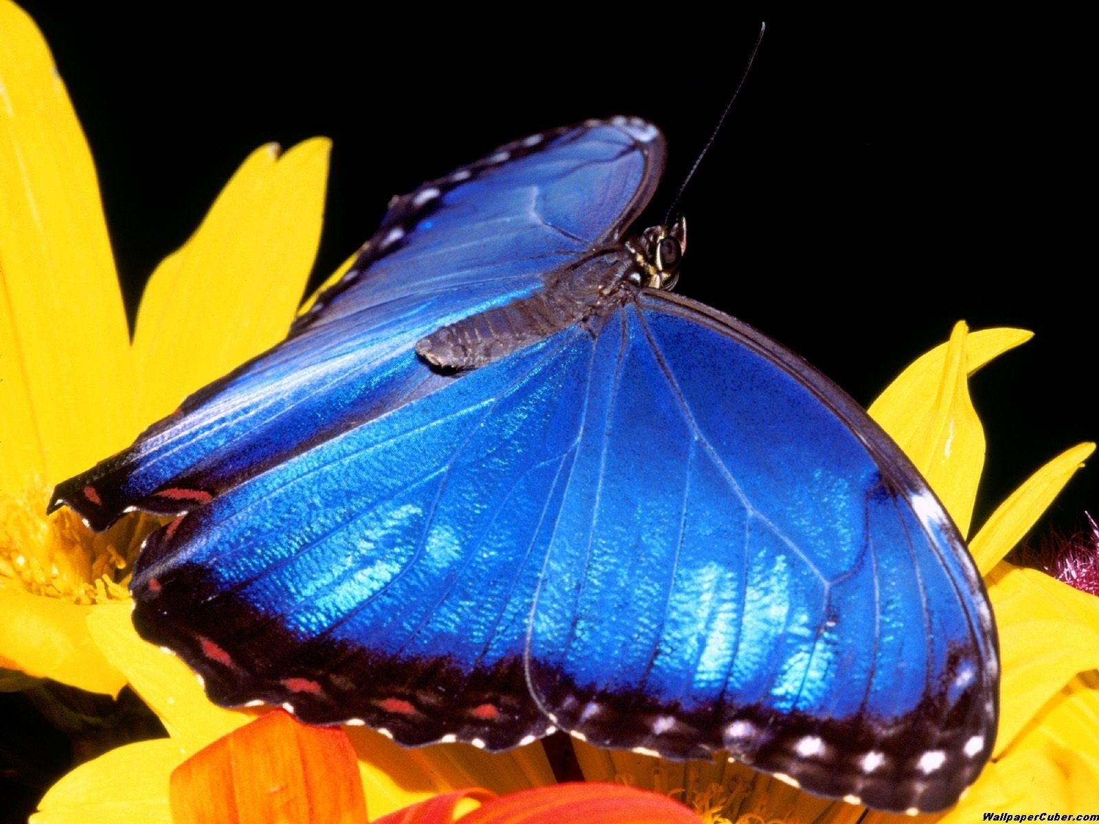 insect blue butterfly wide HD Wallpaper