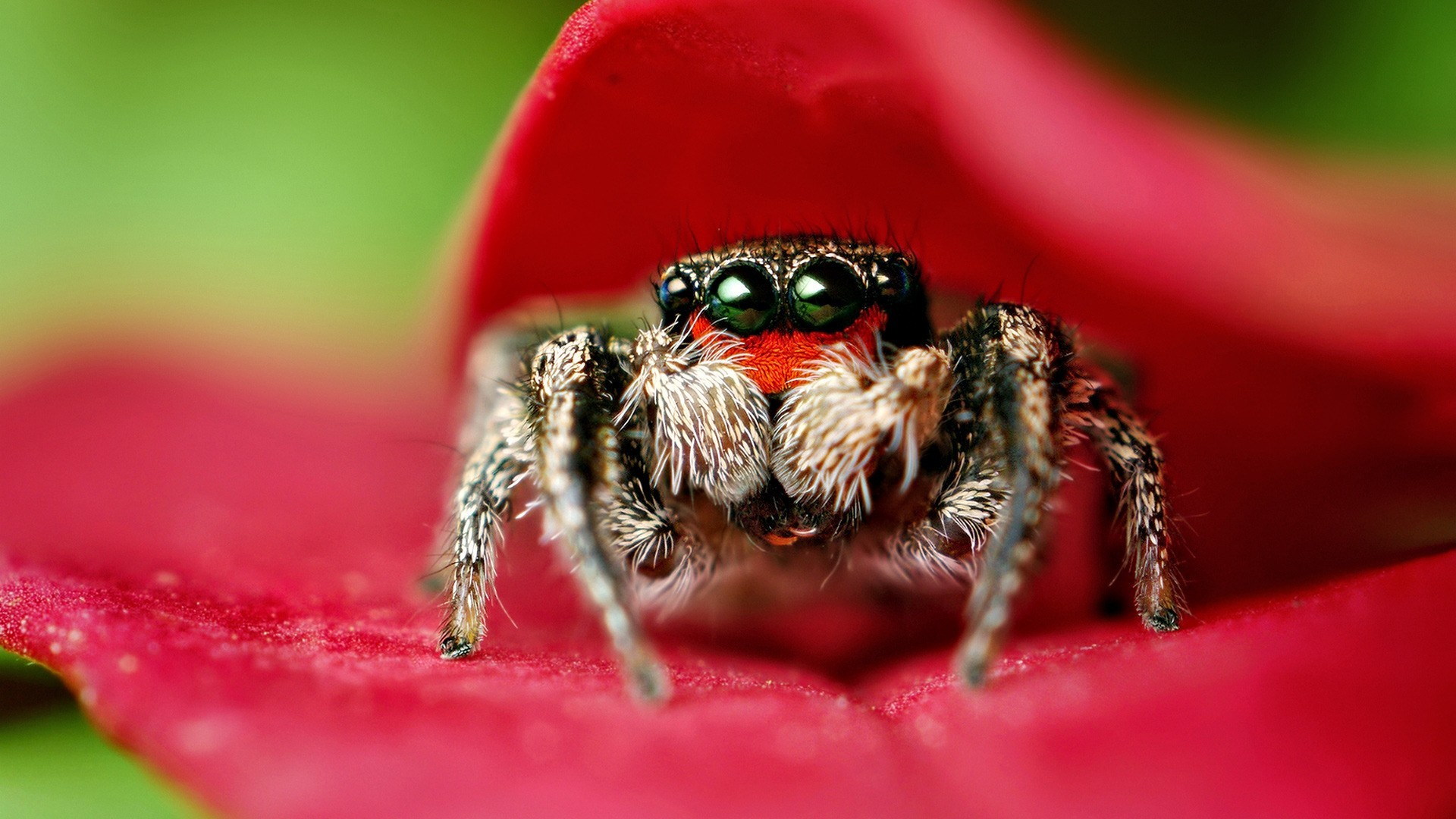 insect crab spider HD Wallpaper