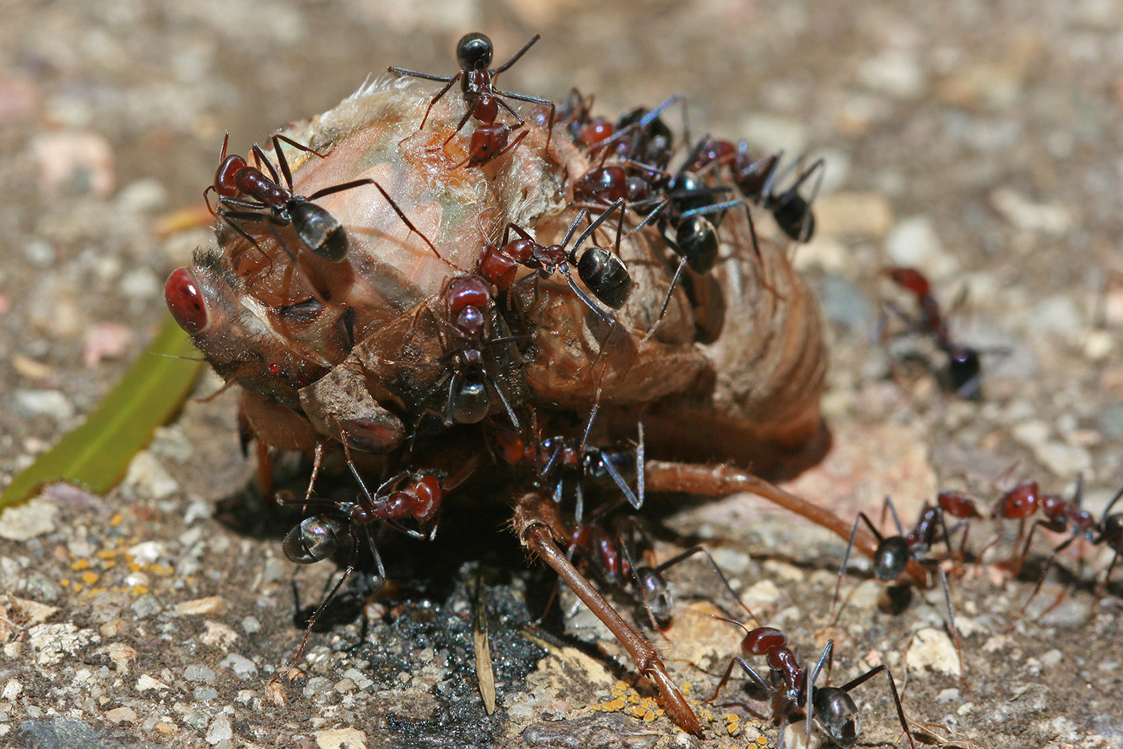 insects ants cicada insect HD Wallpaper