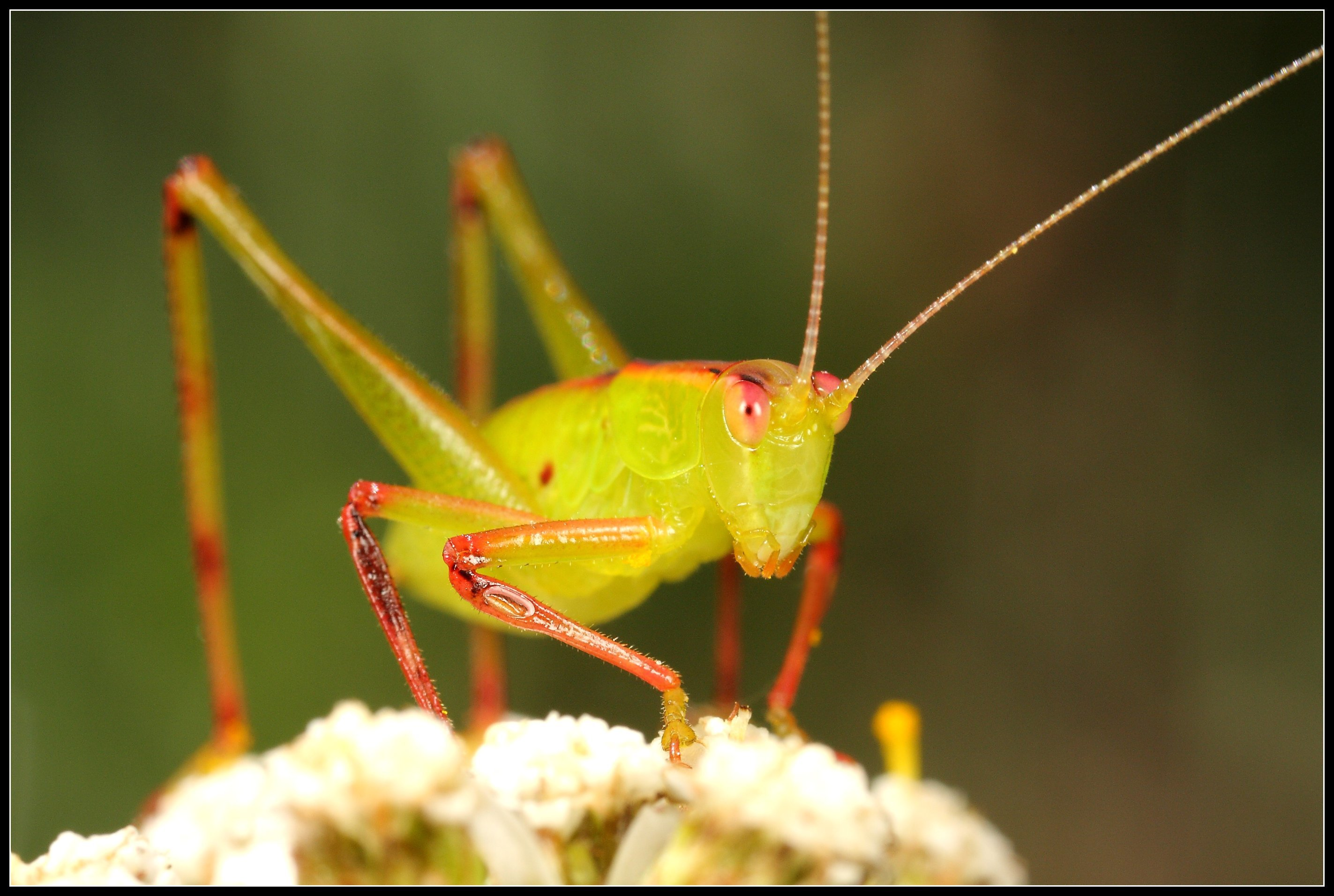 insects grasshopper HD Wallpaper