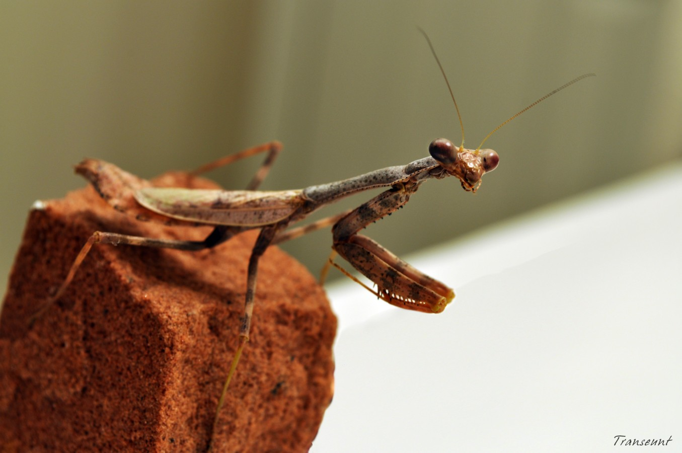 insects macro Praying Mantis HD Wallpaper