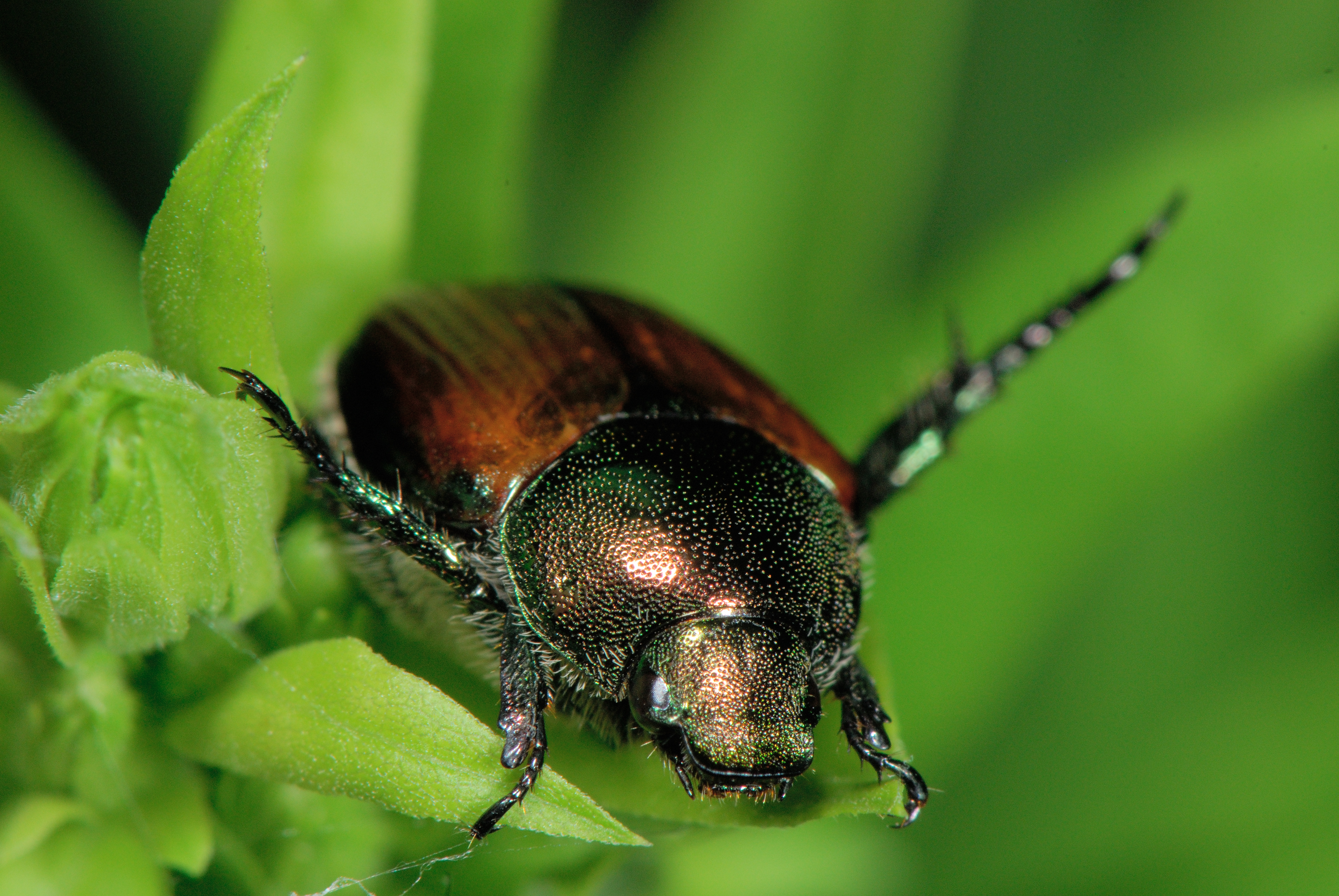 Japanese Beetles in The HD Wallpaper