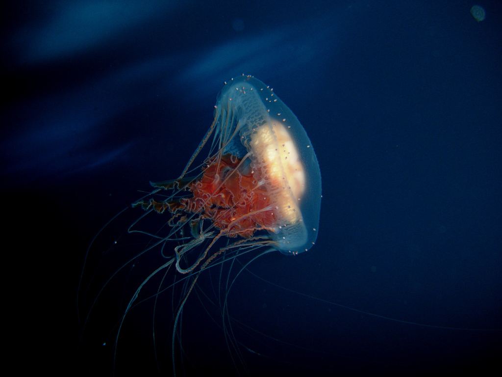 jellyfish HD Wallpaper