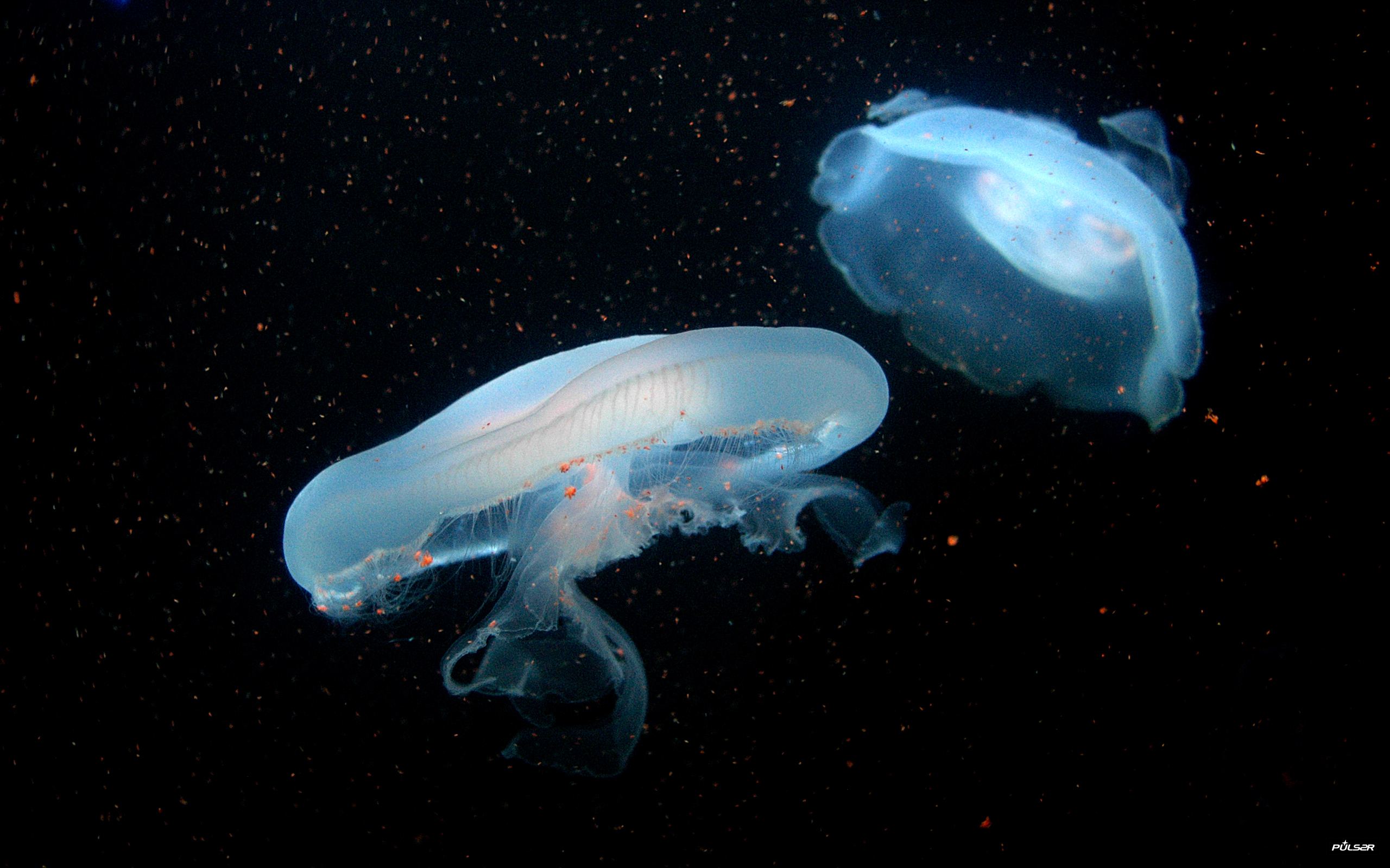 jellyfish underwater HD Wallpaper