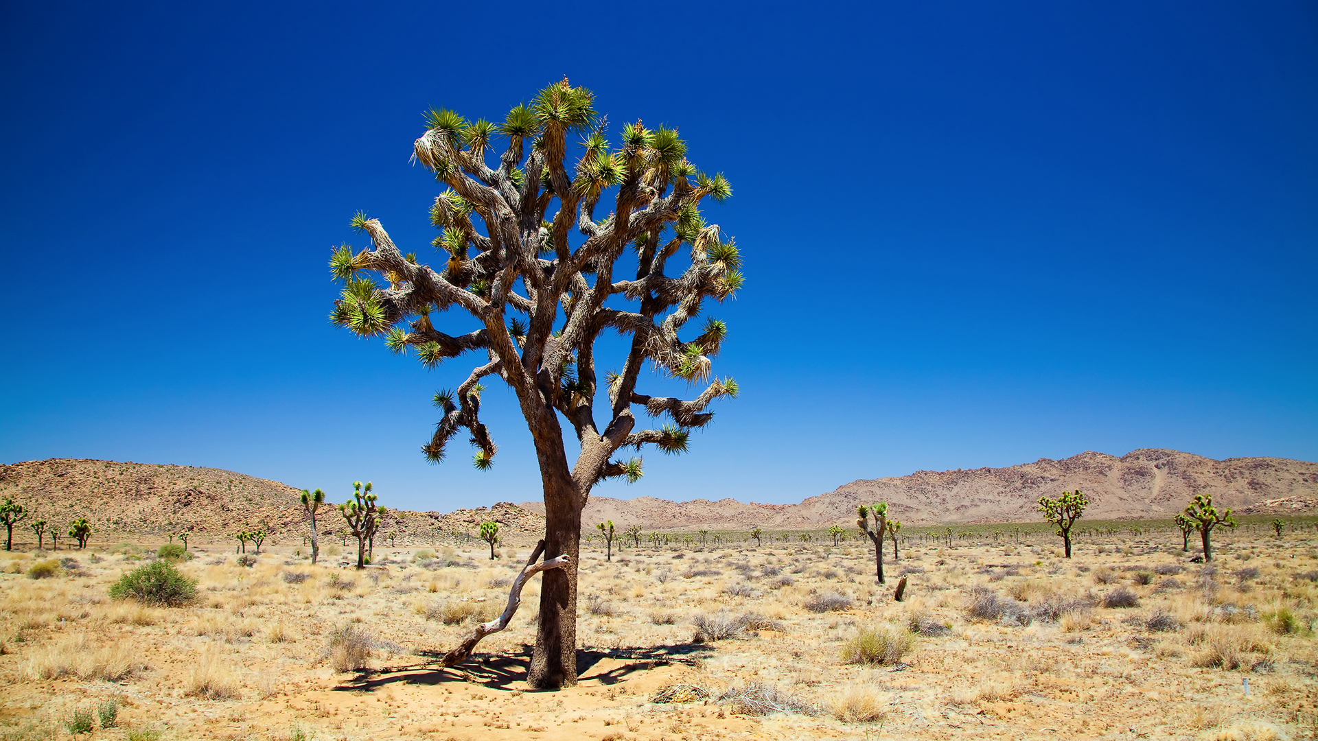 joshuatree HD Wallpaper