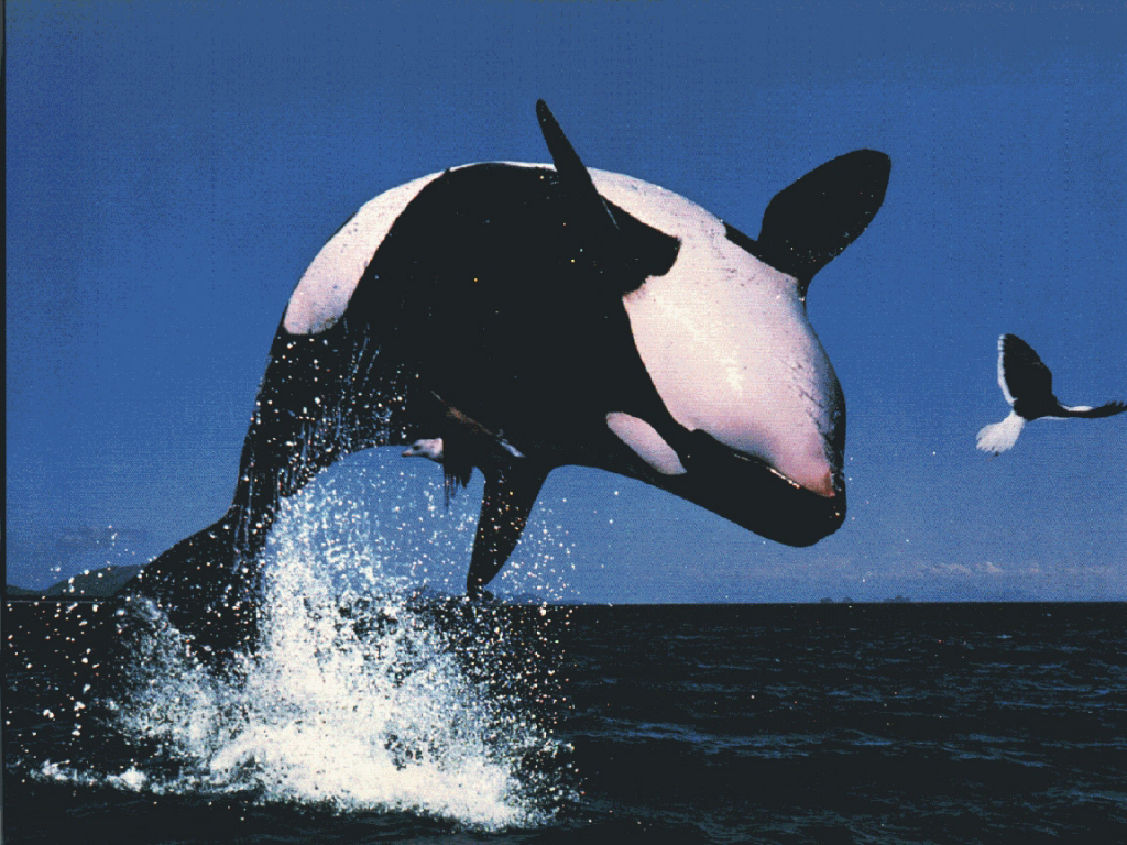 killer whales HD Wallpaper