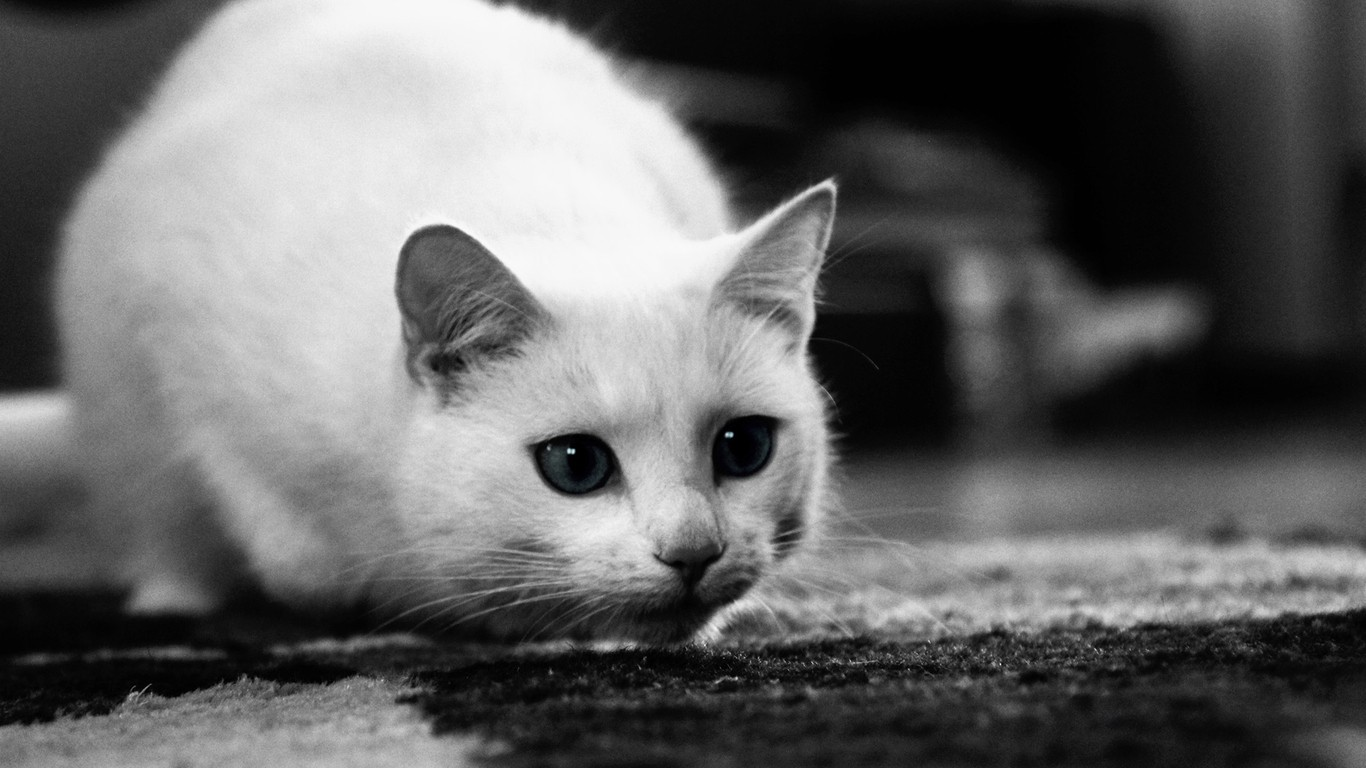 Kittens monochrome HD Wallpaper