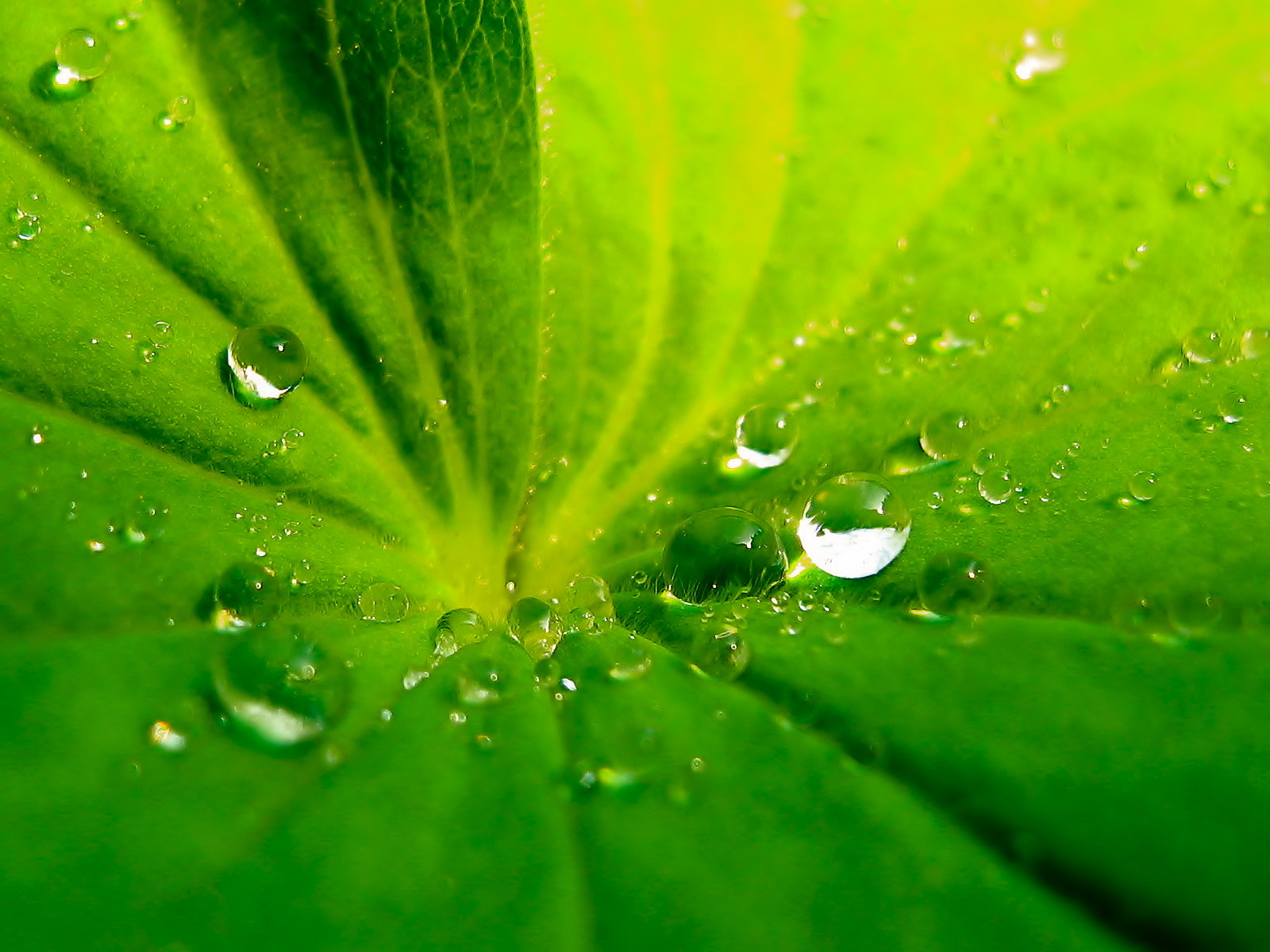 leaf drops on HD Wallpaper