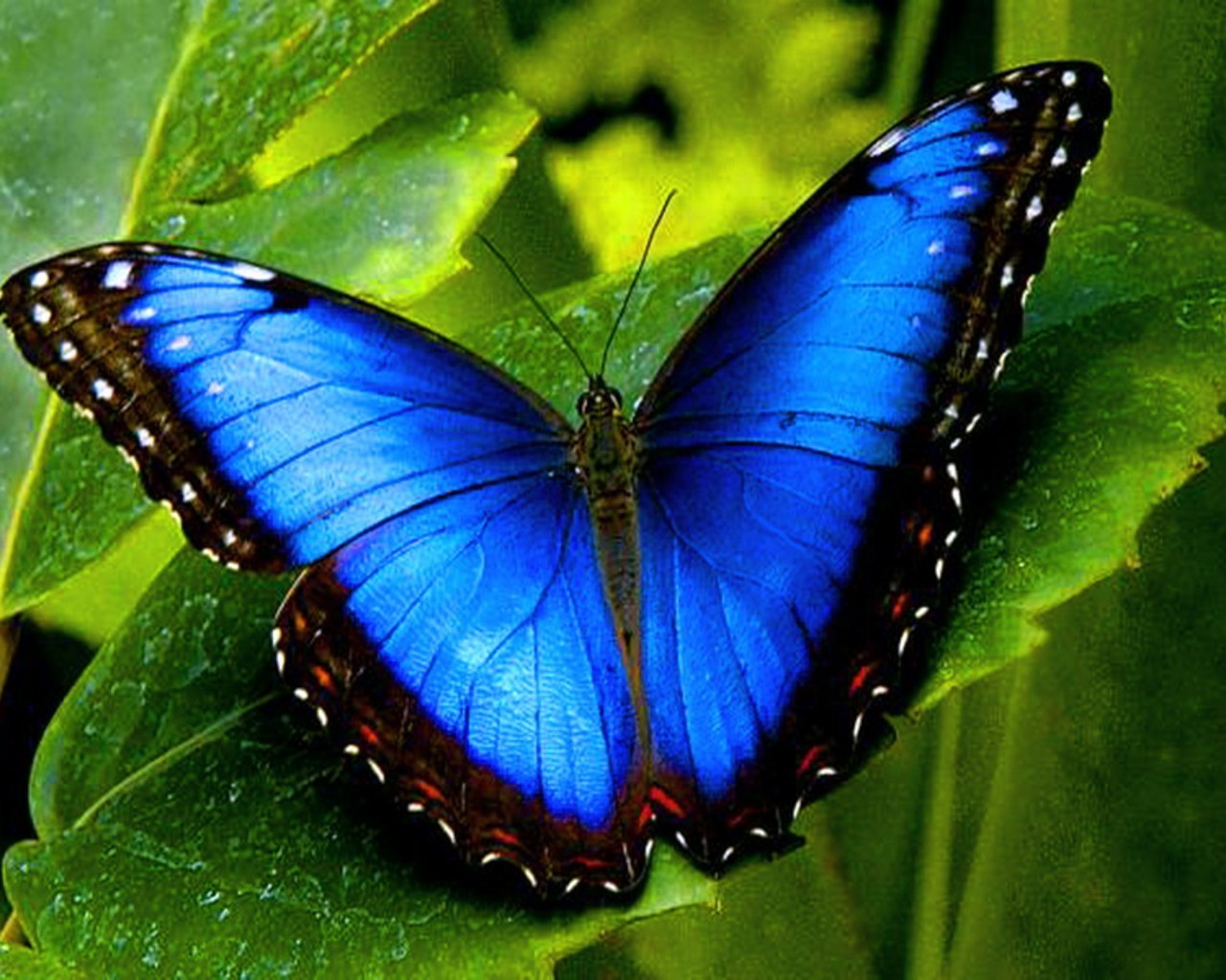 macro Animals blue Butterflies HD Wallpaper