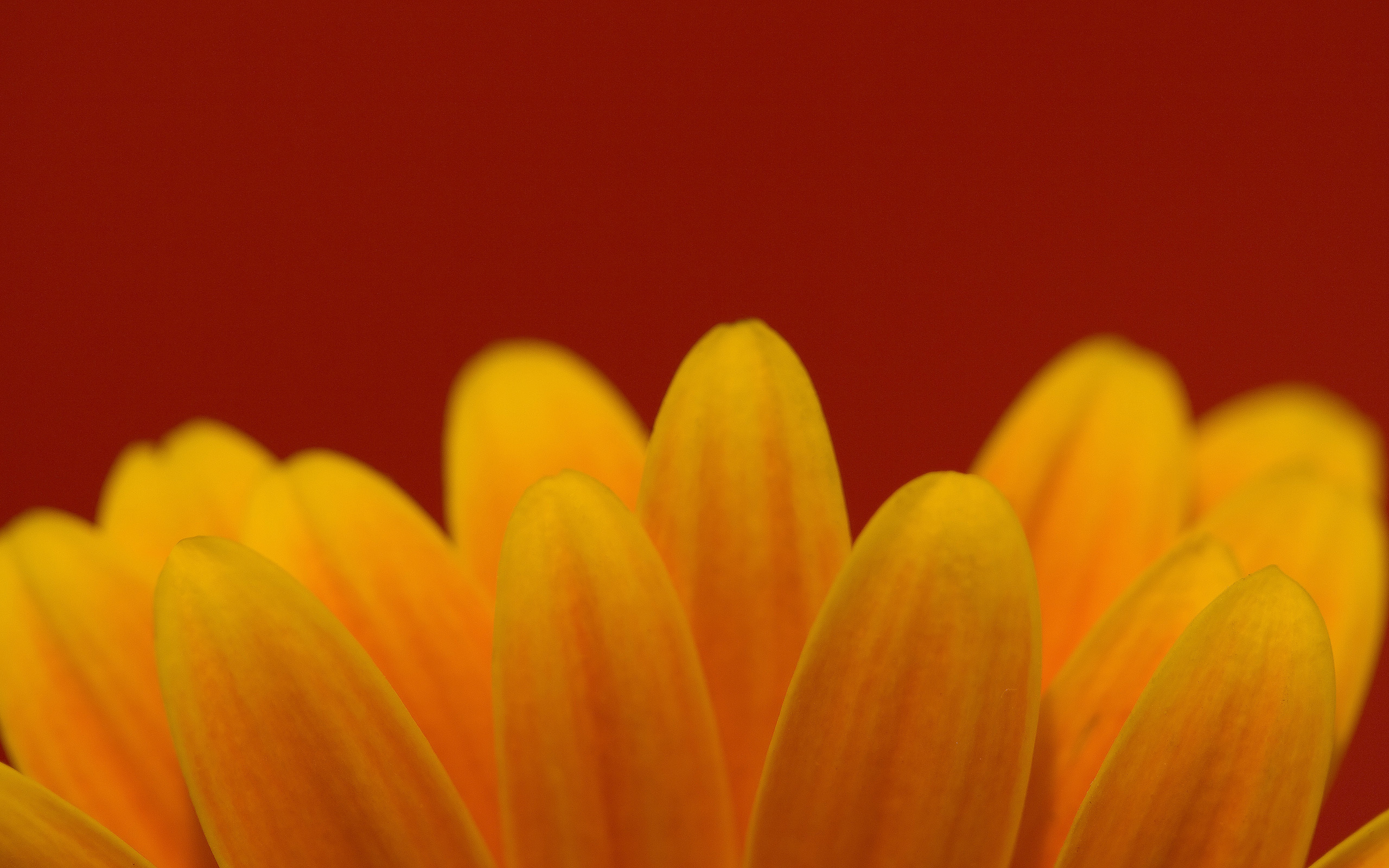 macro flower petals yellow HD Wallpaper