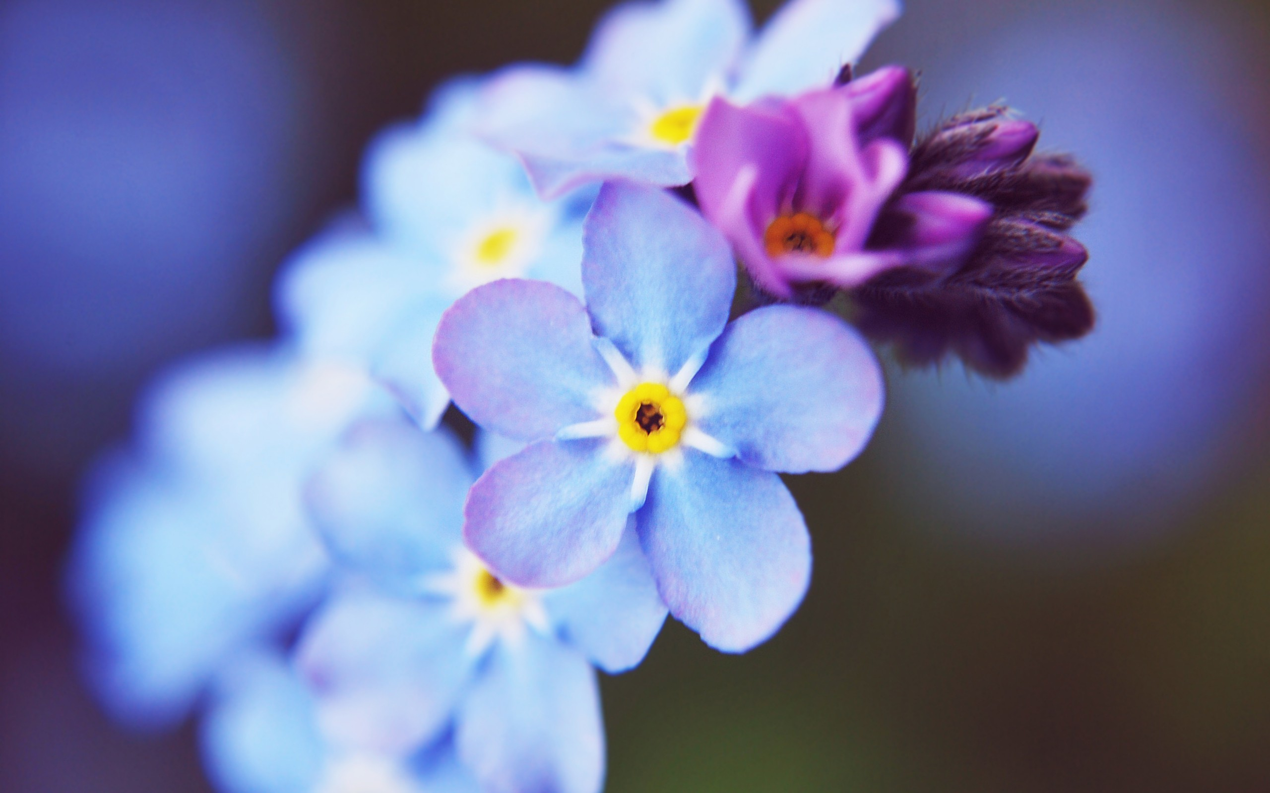 macro Flowers nature blue flowers Forget-me-nots HD Wallpaper
