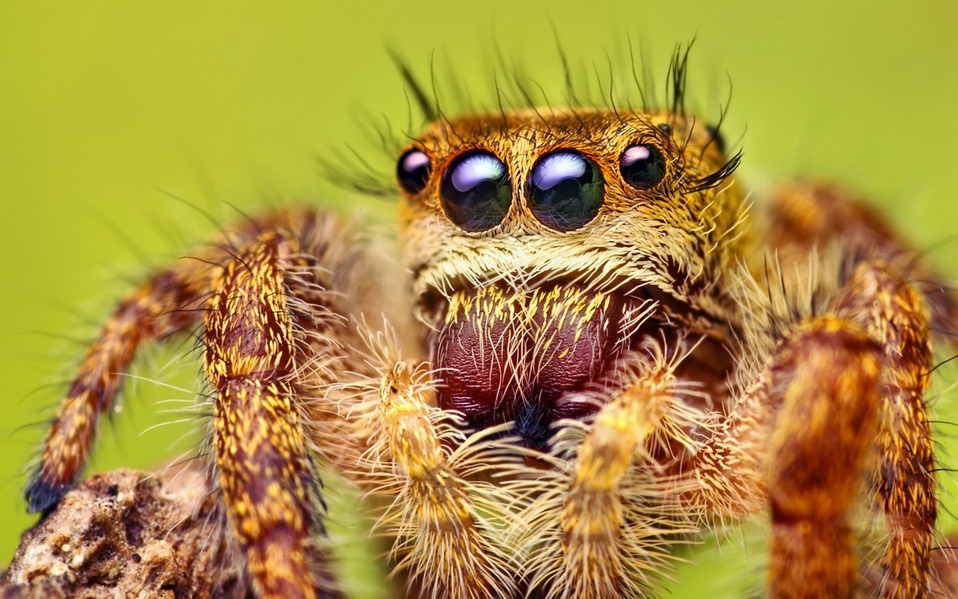 macro spiders Animals arachnids HD Wallpaper
