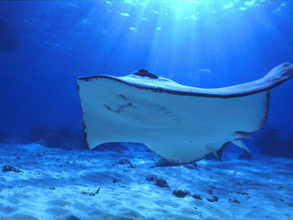 Manta Ray blue HD Wallpaper