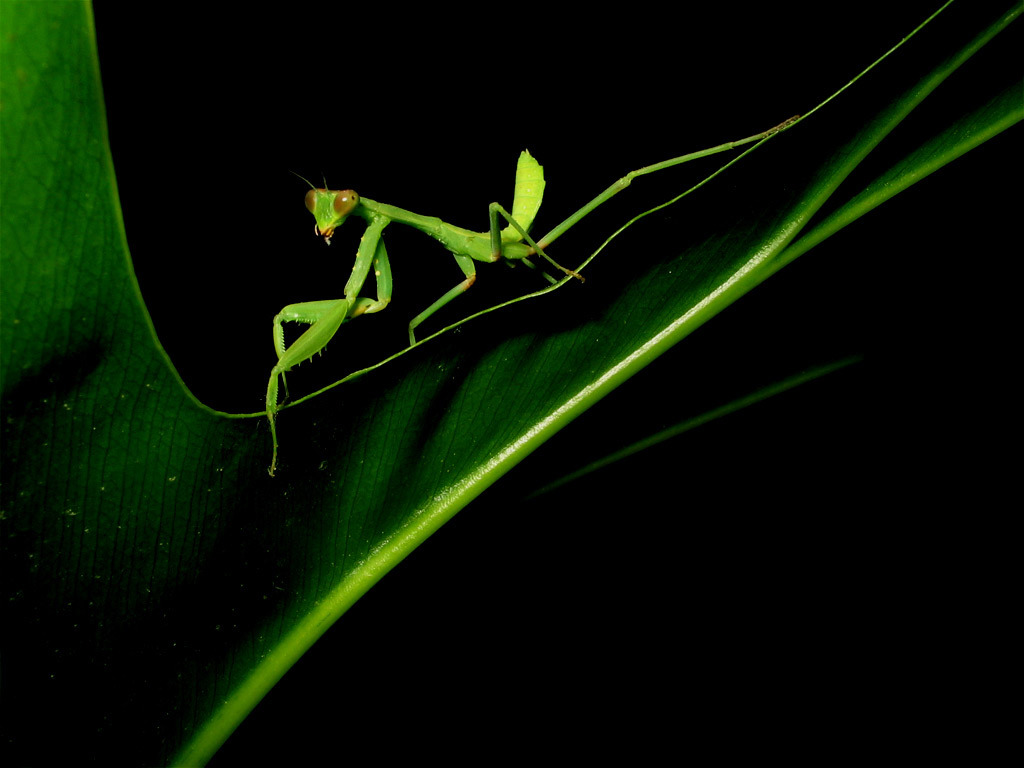 mantis HD Wallpaper