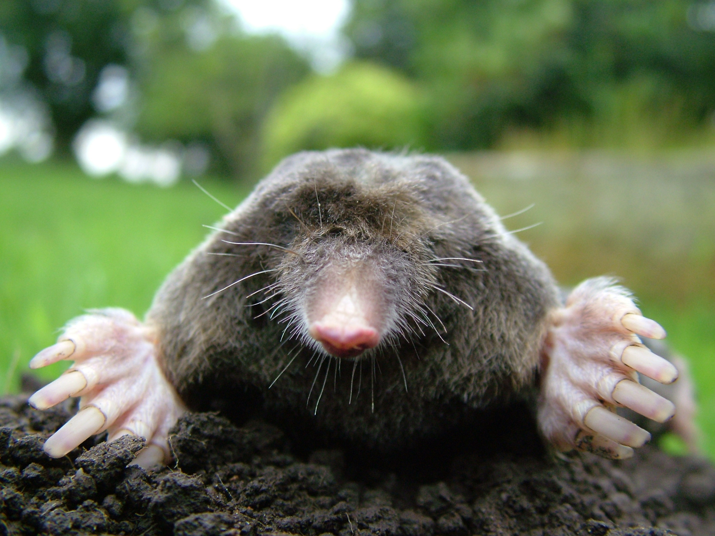 mole lolk creatures Animals HD Wallpaper