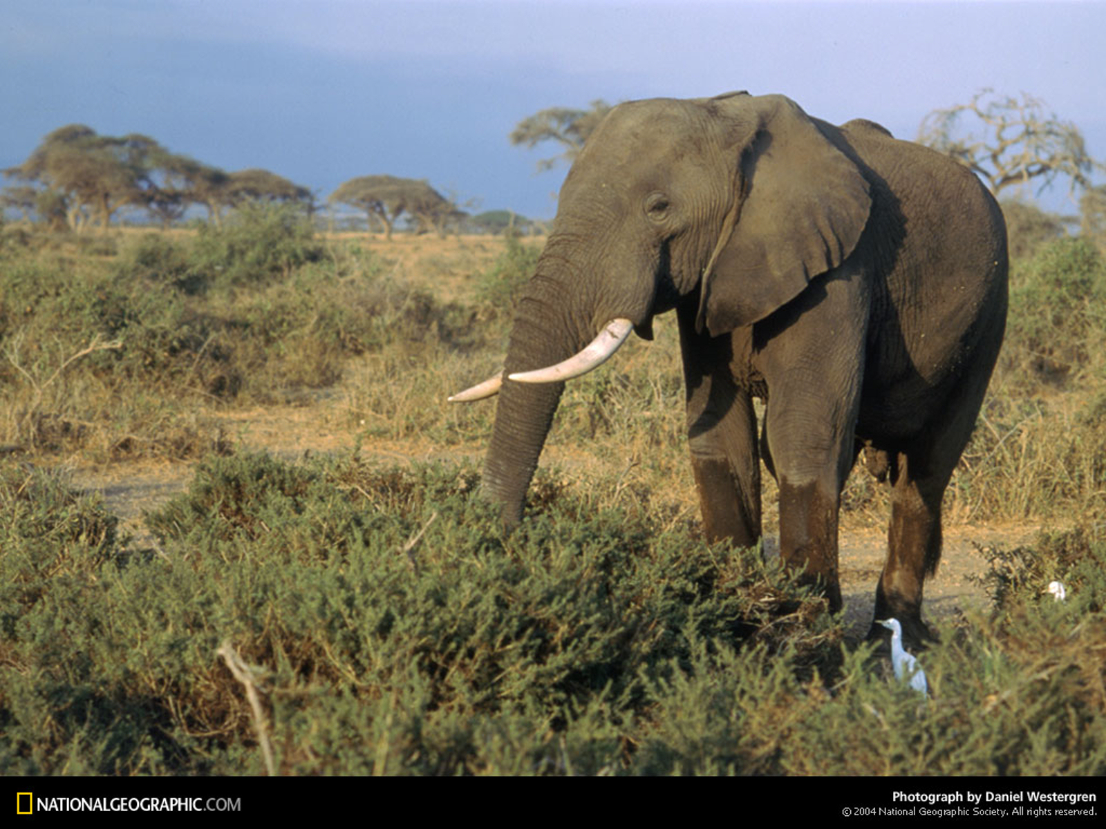 National geographic elephants HD Wallpaper