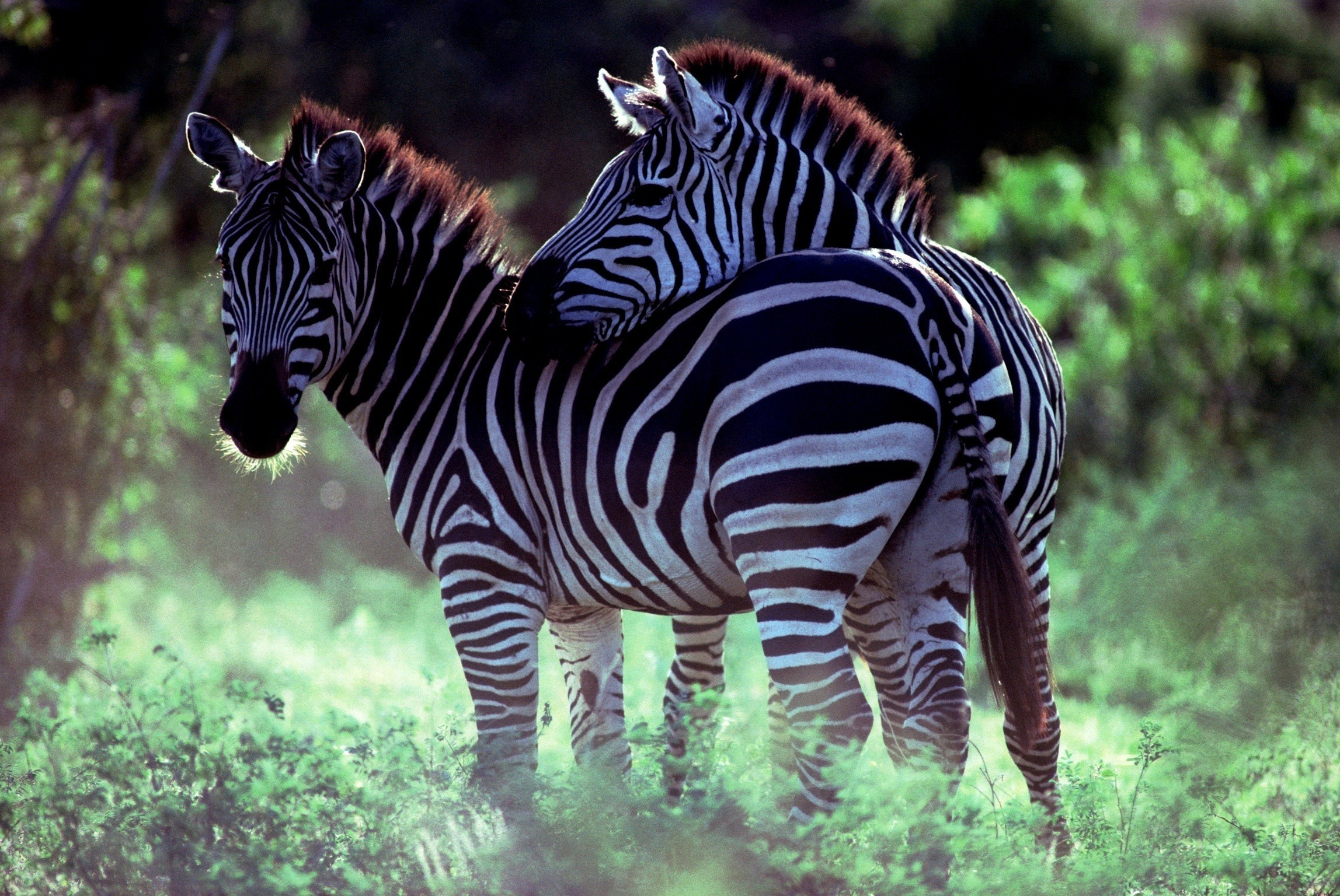 nature Animals Africa zebras HD Wallpaper