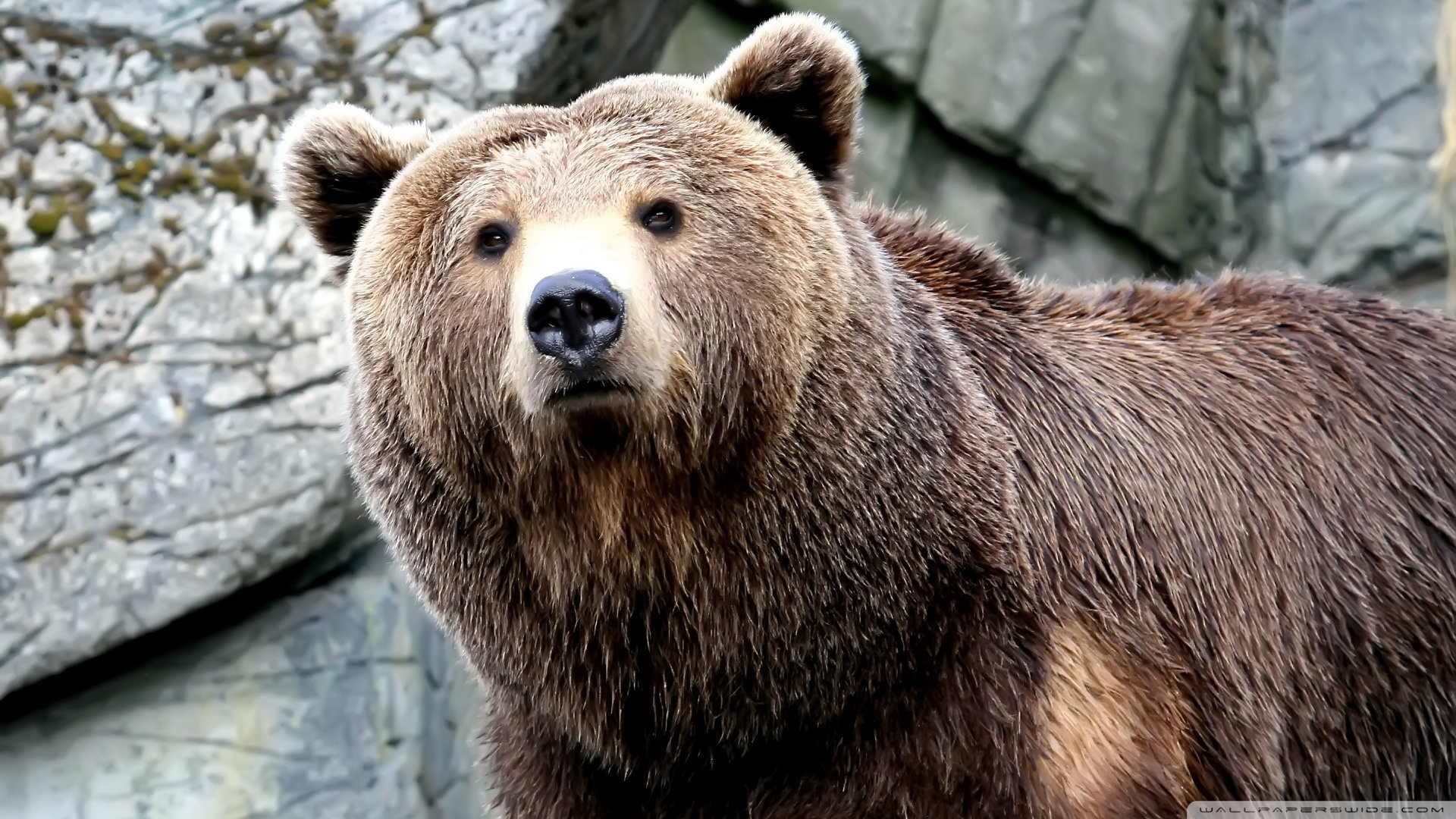 nature Animals Bears brown HD Wallpaper