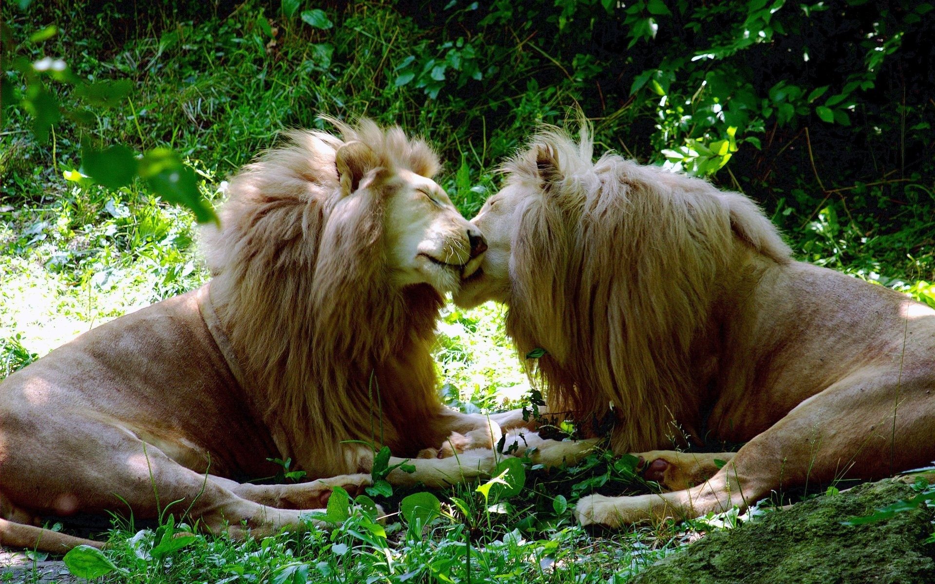 nature Animals feline Lions HD Wallpaper