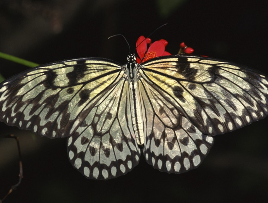 nature Animals gray Butterflies HD Wallpaper