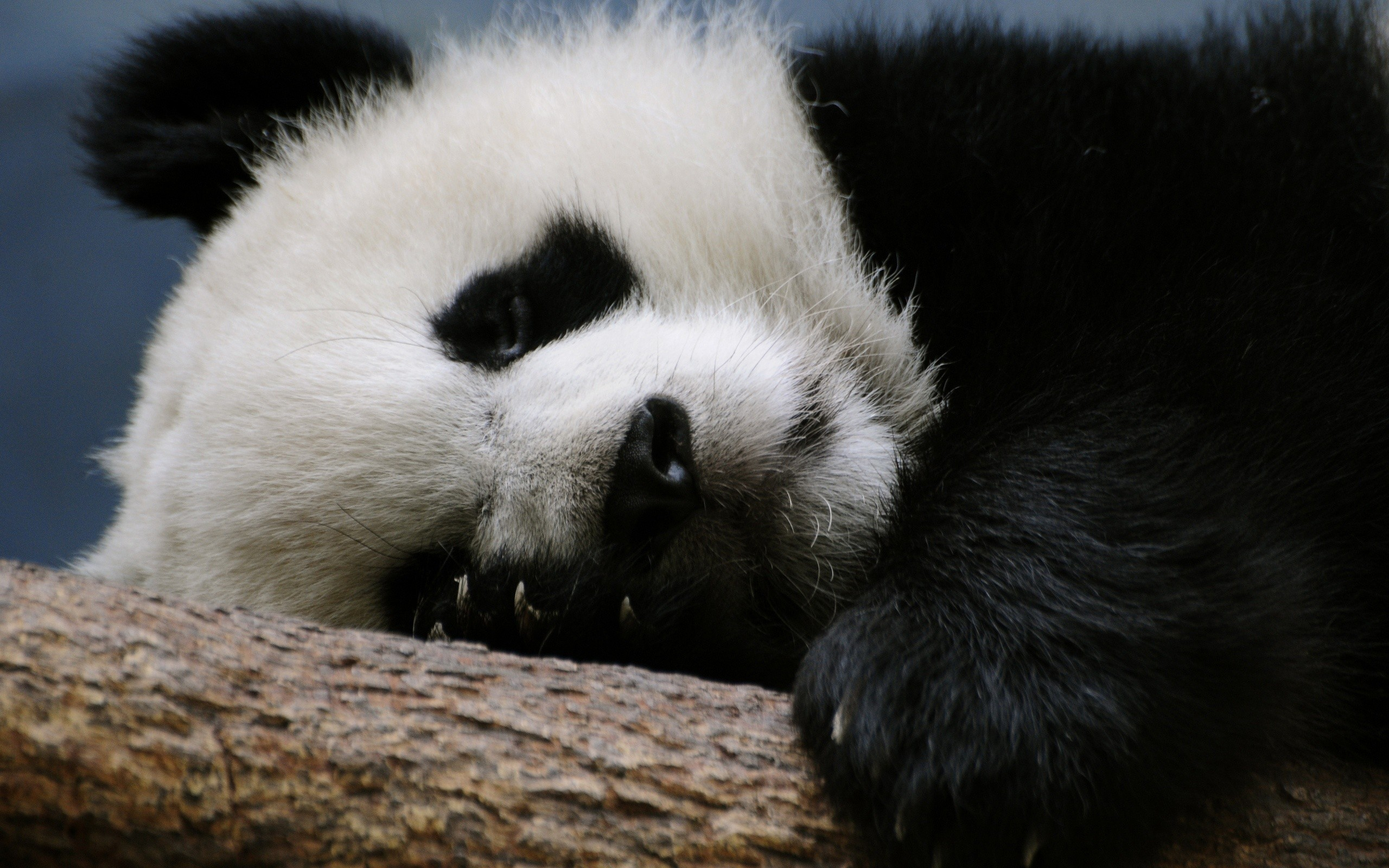 nature Animals panda bears HD Wallpaper