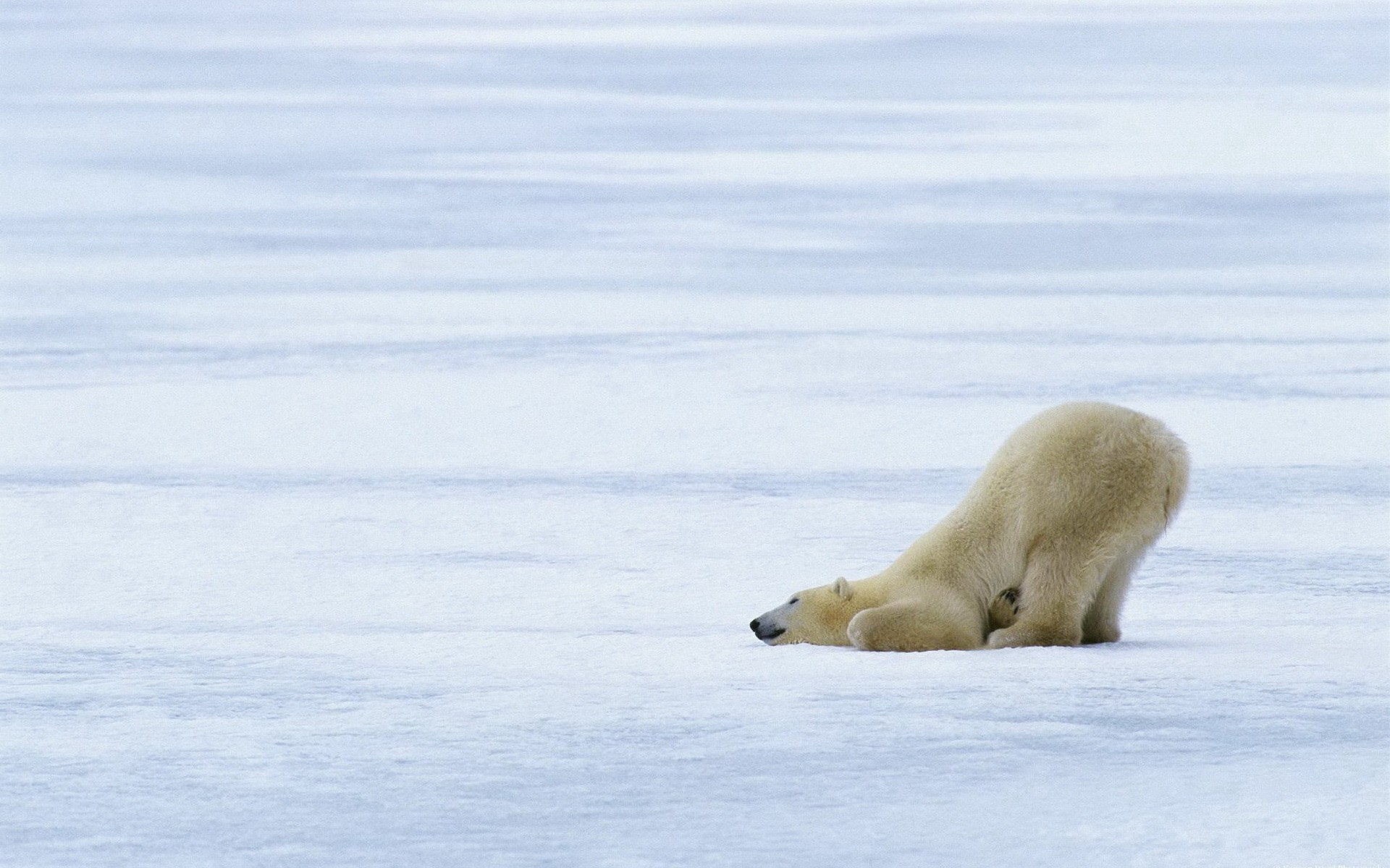 nature Animals Polar Bears HD Wallpaper