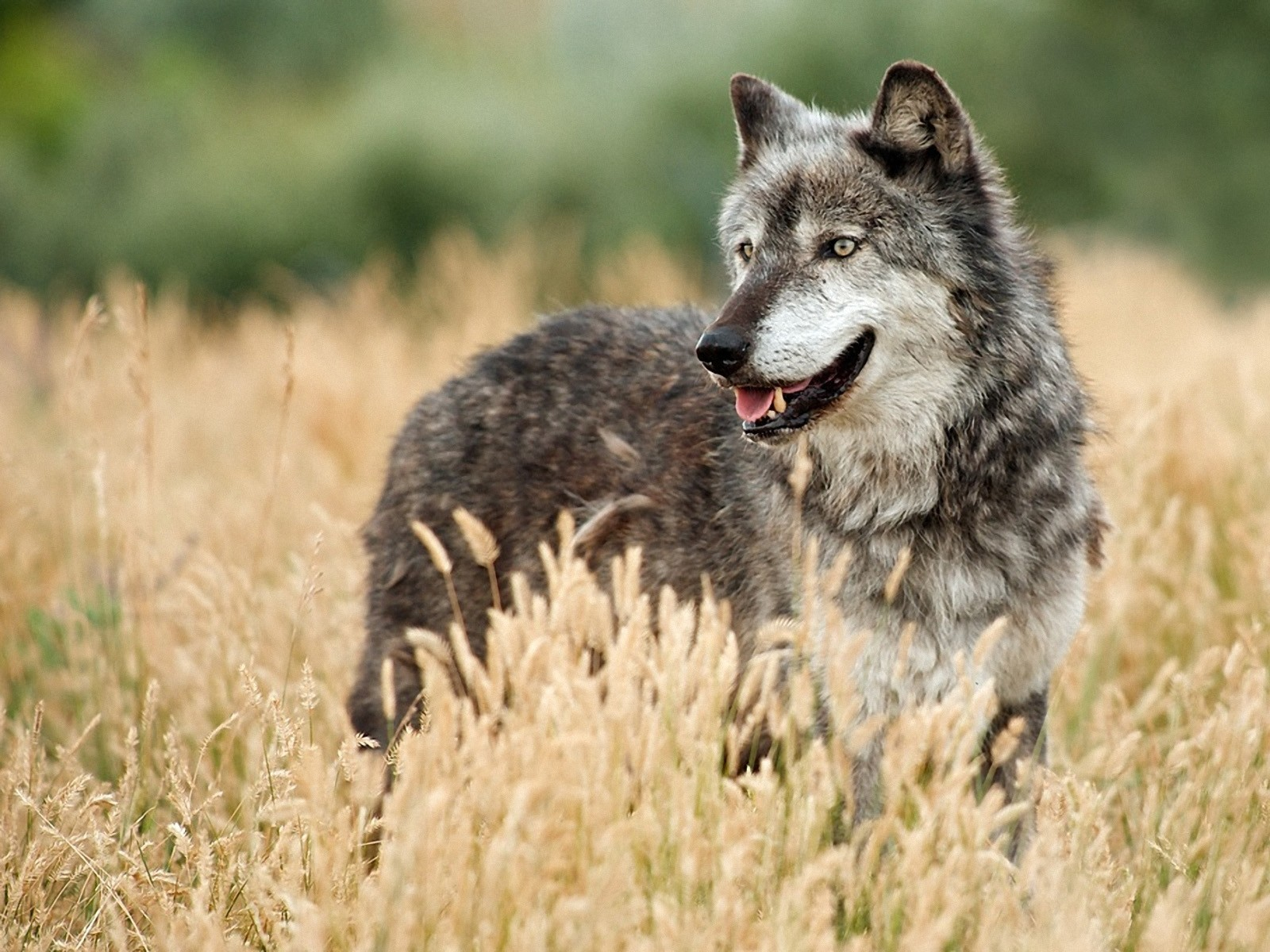 nature Animals wildlife Dogs HD Wallpaper