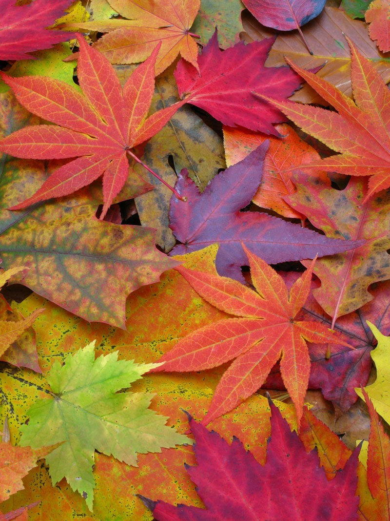 nature autumn leaves HD Wallpaper