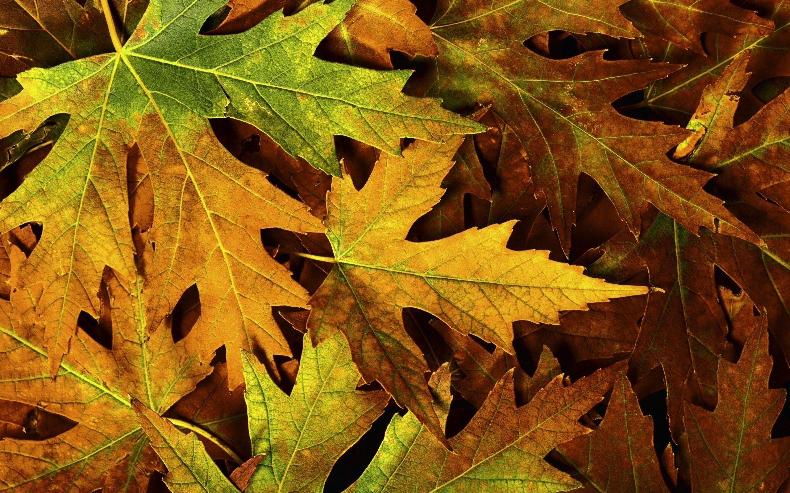 nature autumn leaves maple HD Wallpaper