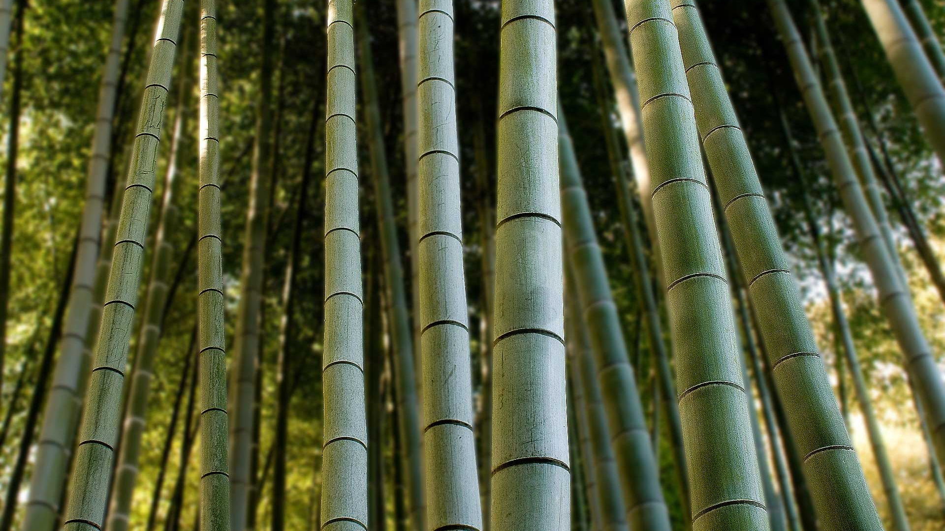 nature bamboo HD Wallpaper