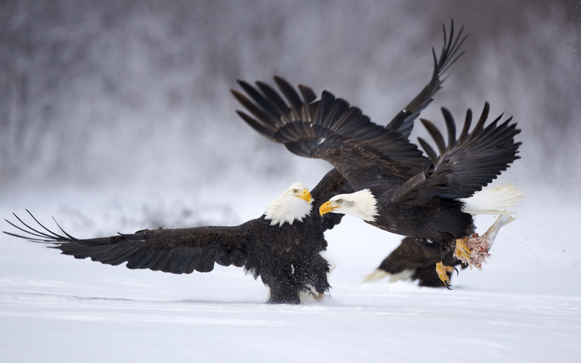 nature Birds bald eagles HD Wallpaper