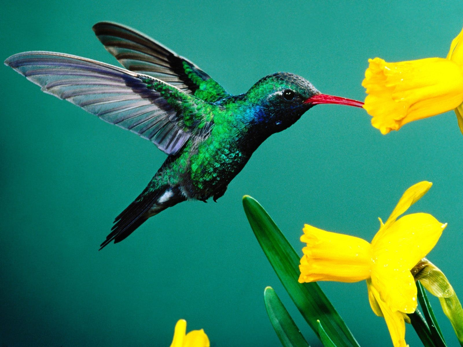 nature Birds hummingbirds daffodils HD Wallpaper