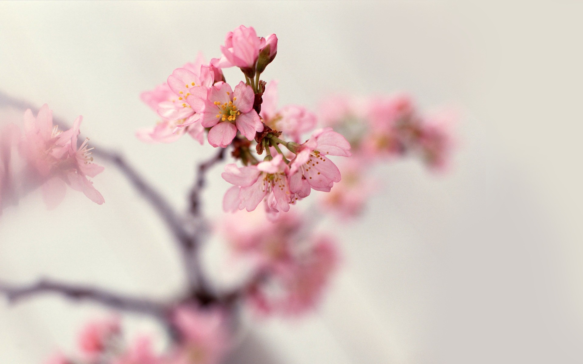 nature cherry blossoms Flowers HD Wallpaper