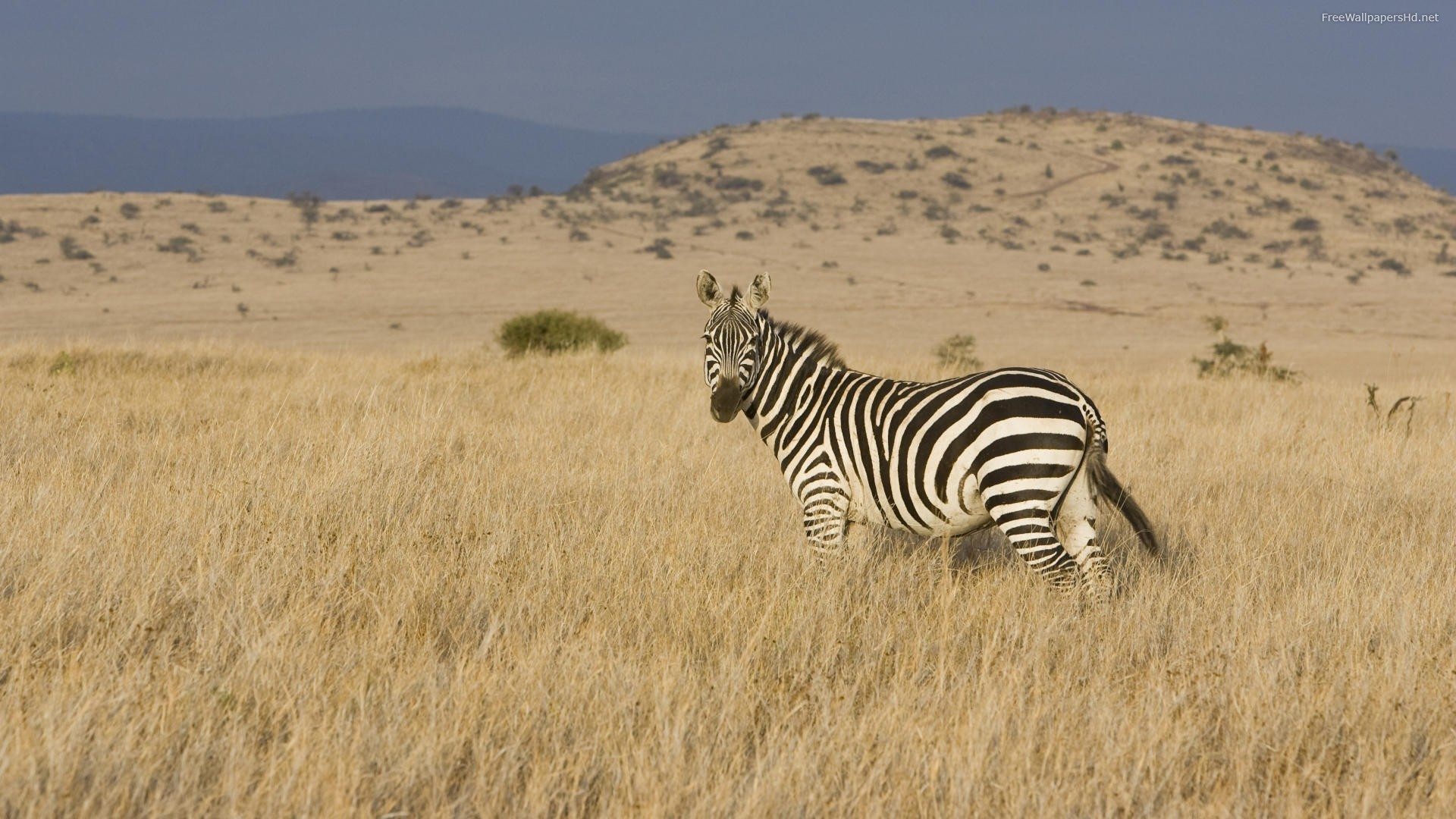 nature deserts wildlife zebras HD Wallpaper