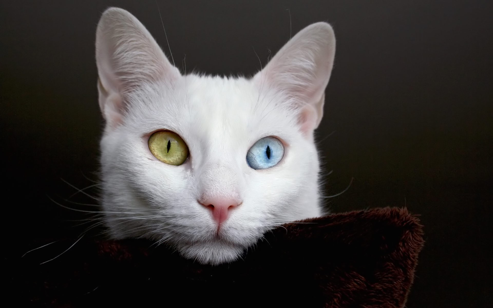 nature eyes white cats HD Wallpaper