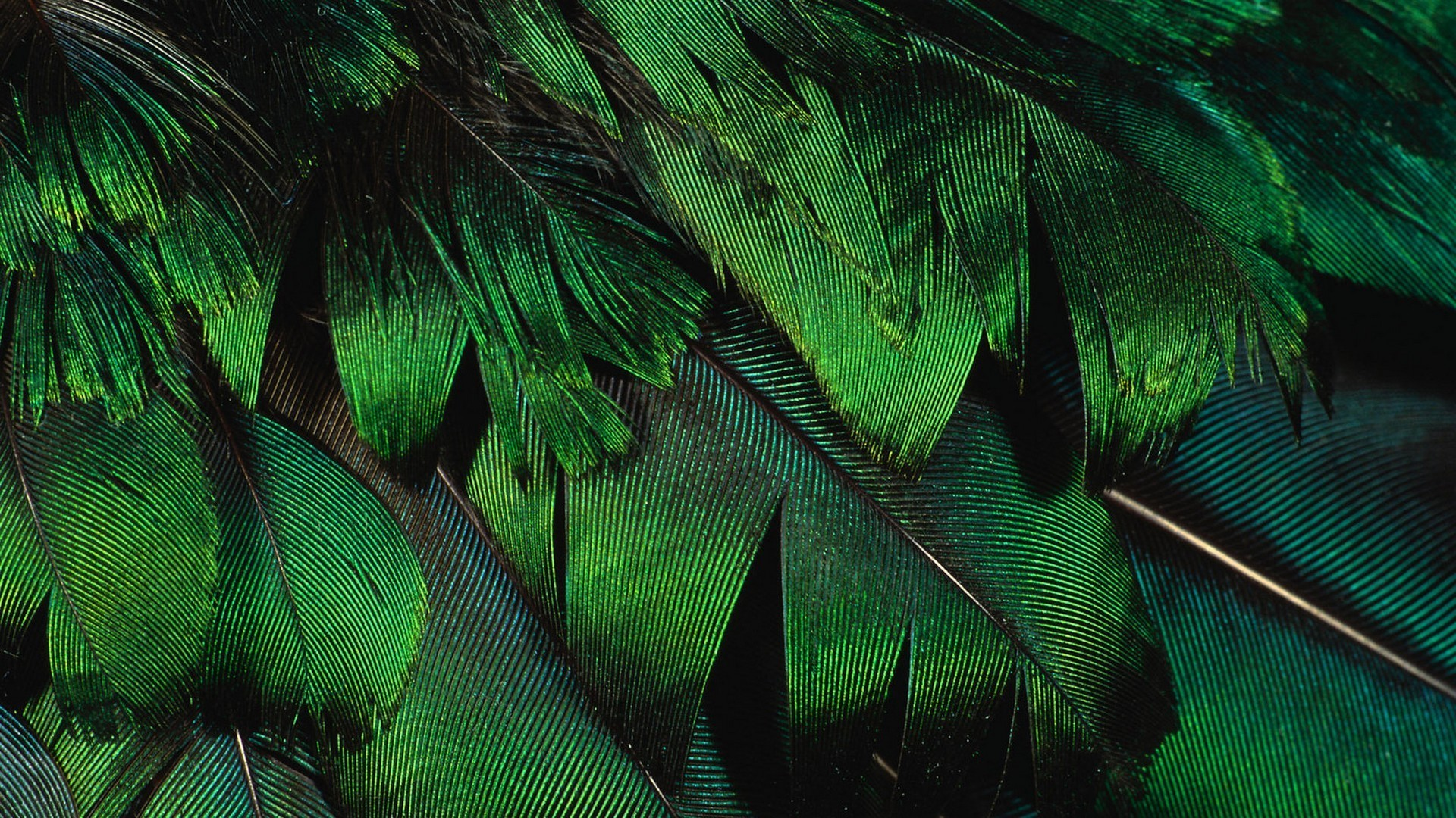 nature feathers macro iridescence HD Wallpaper