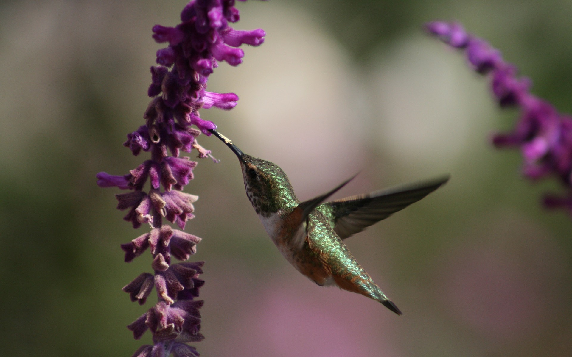 nature Flowers Birds hummingbirds HD Wallpaper