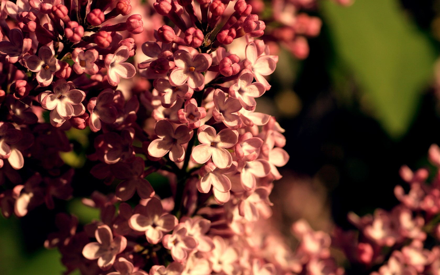 nature Flowers blossoms lilac HD Wallpaper