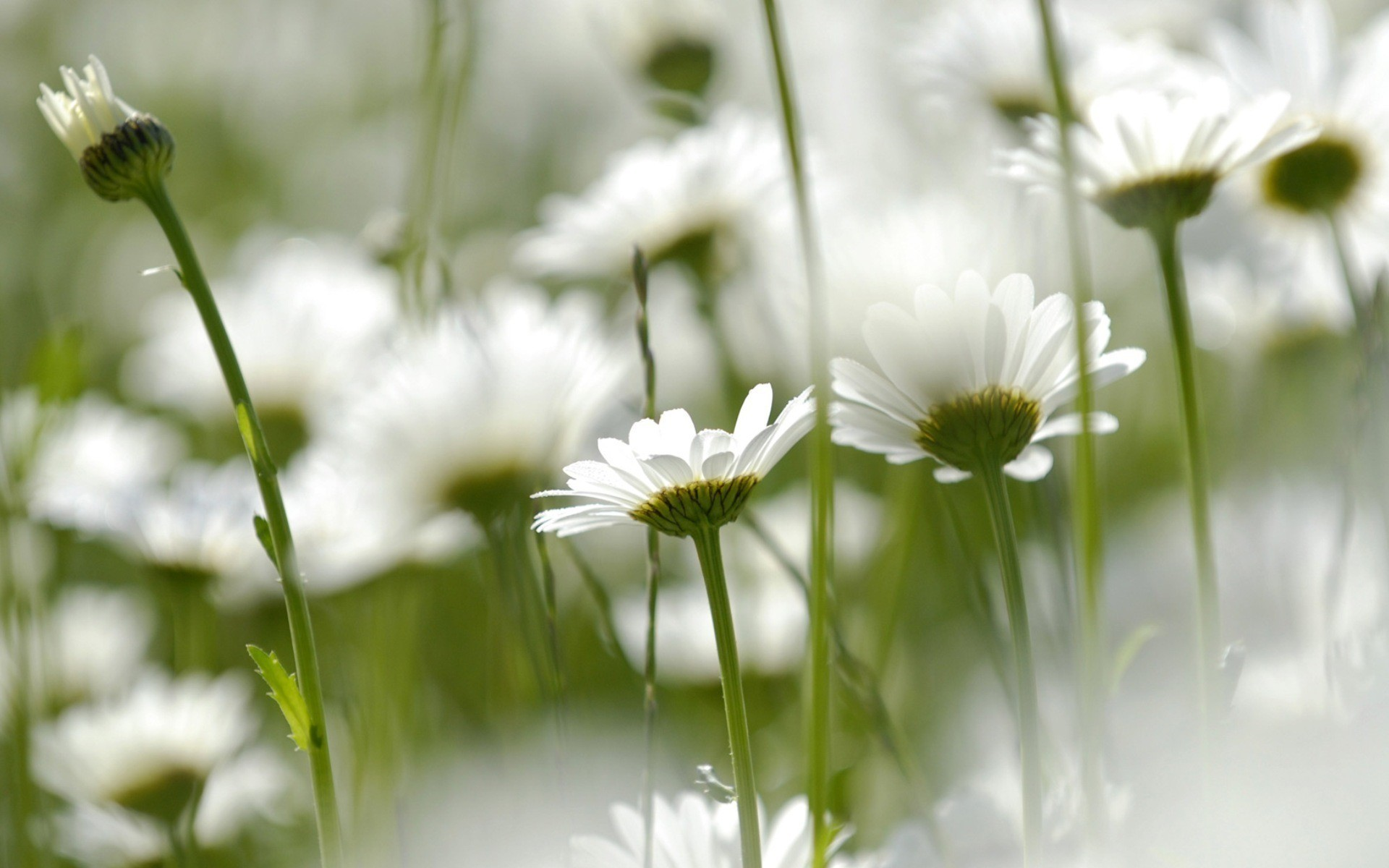nature Flowers Daisy HD Wallpaper