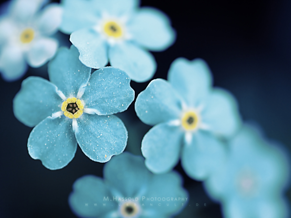 nature Flowers Forget-me-nots blue HD Wallpaper
