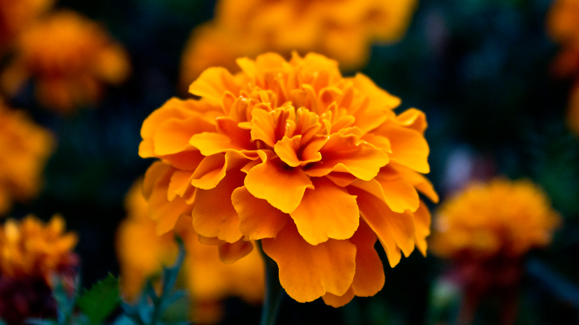 nature Flowers Marigold orange HD Wallpaper