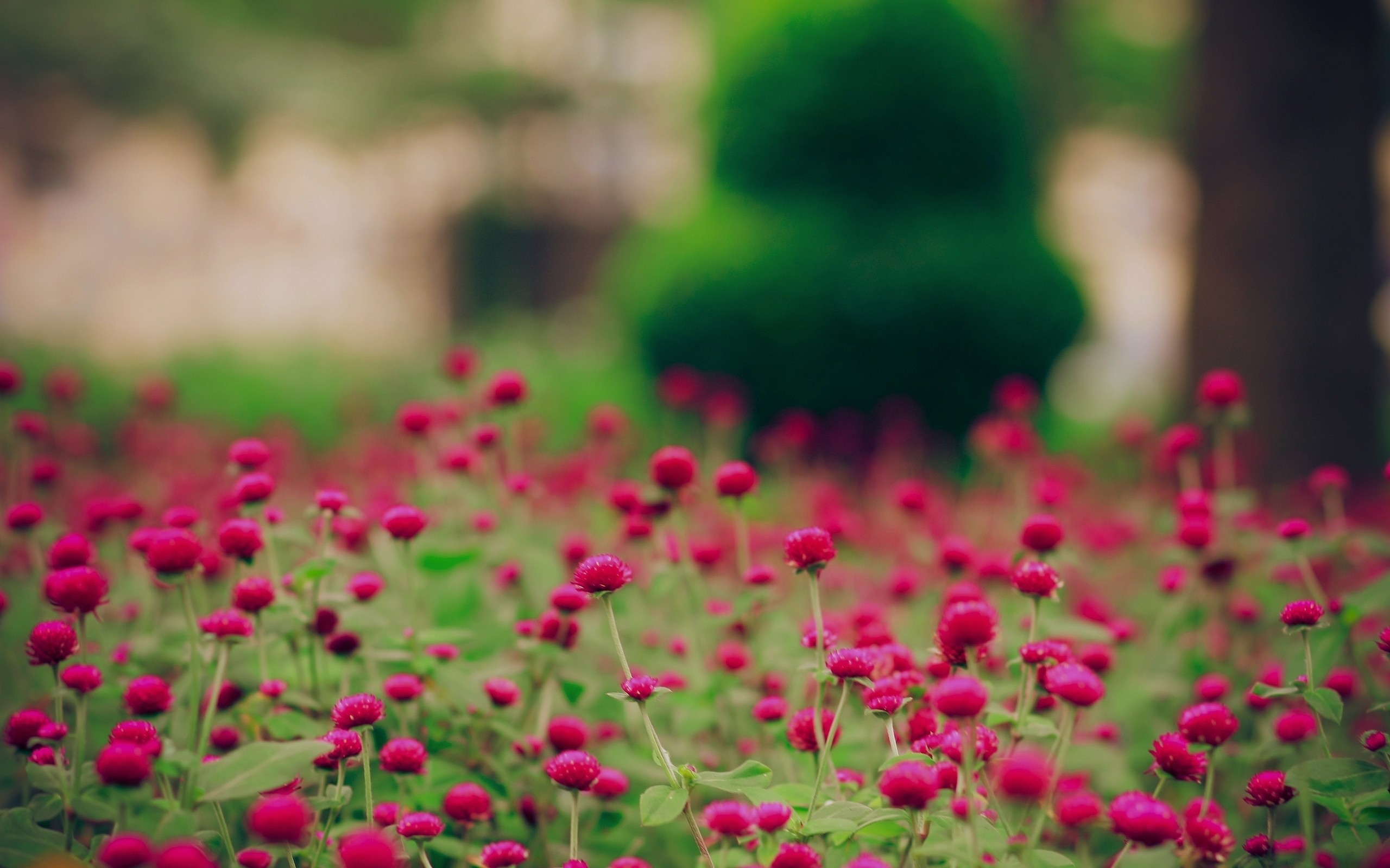 nature Flowers pink flowers HD Wallpaper