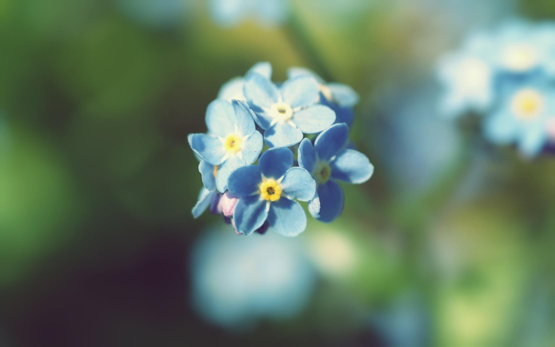 nature Flowers summer Forget-me-nots HD Wallpaper