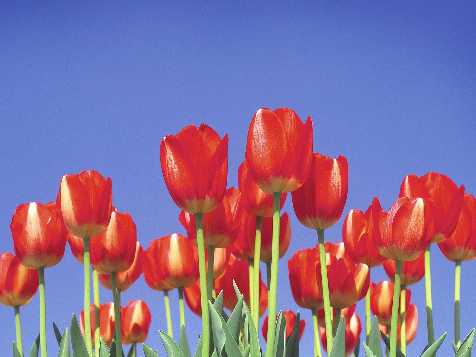 nature Flowers tulips red