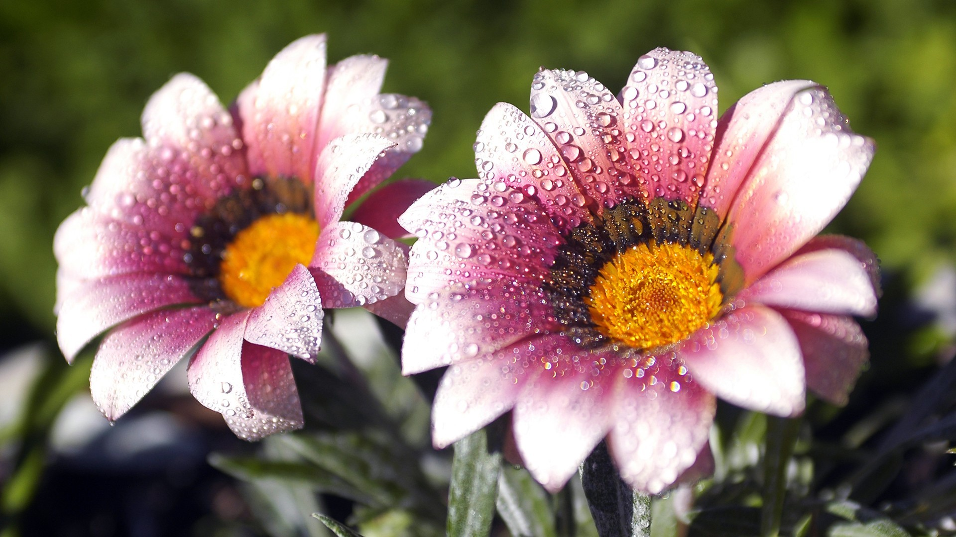 nature Flowers water drops HD Wallpaper