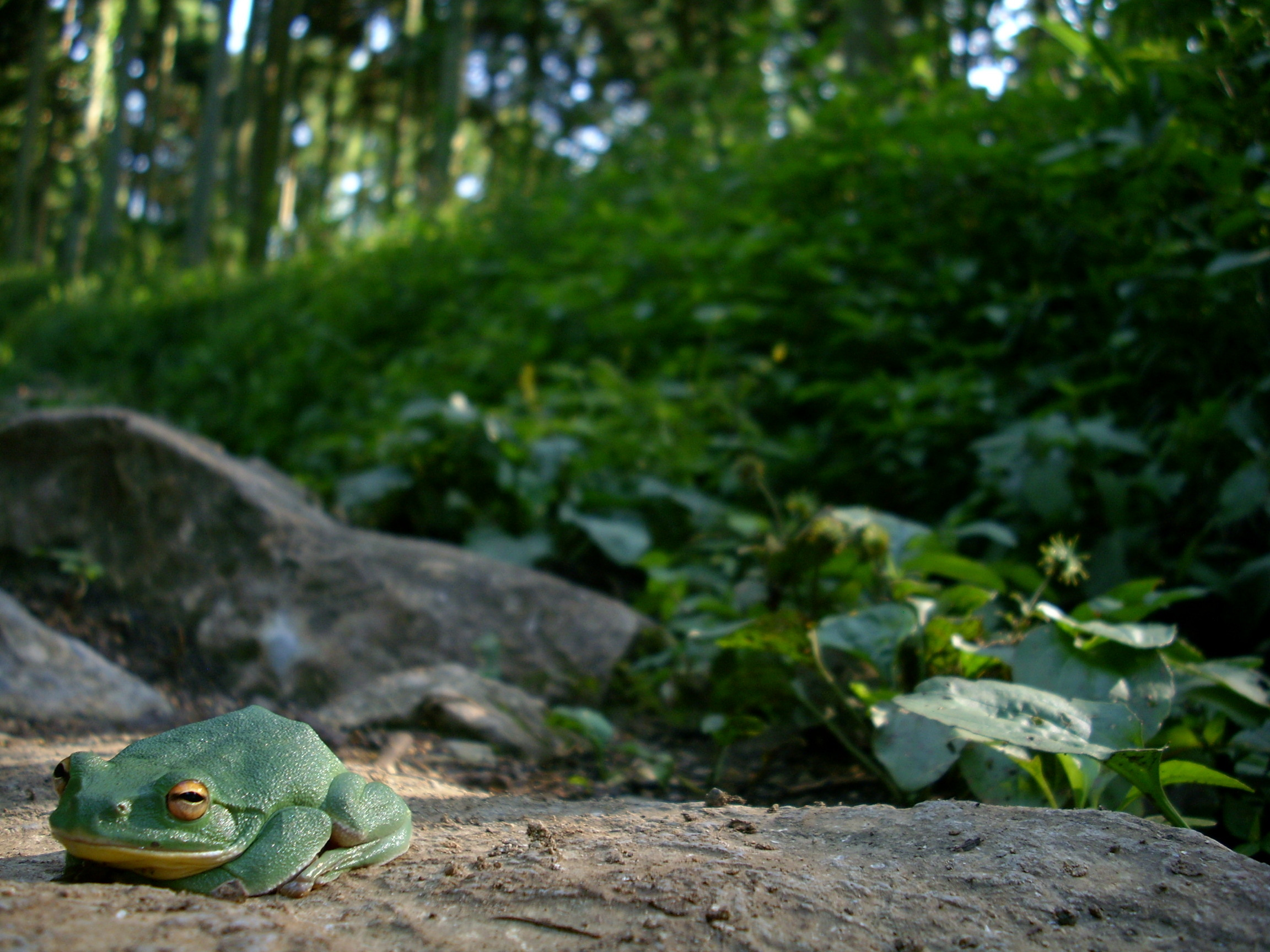 nature Frogs amphibians HD Wallpaper